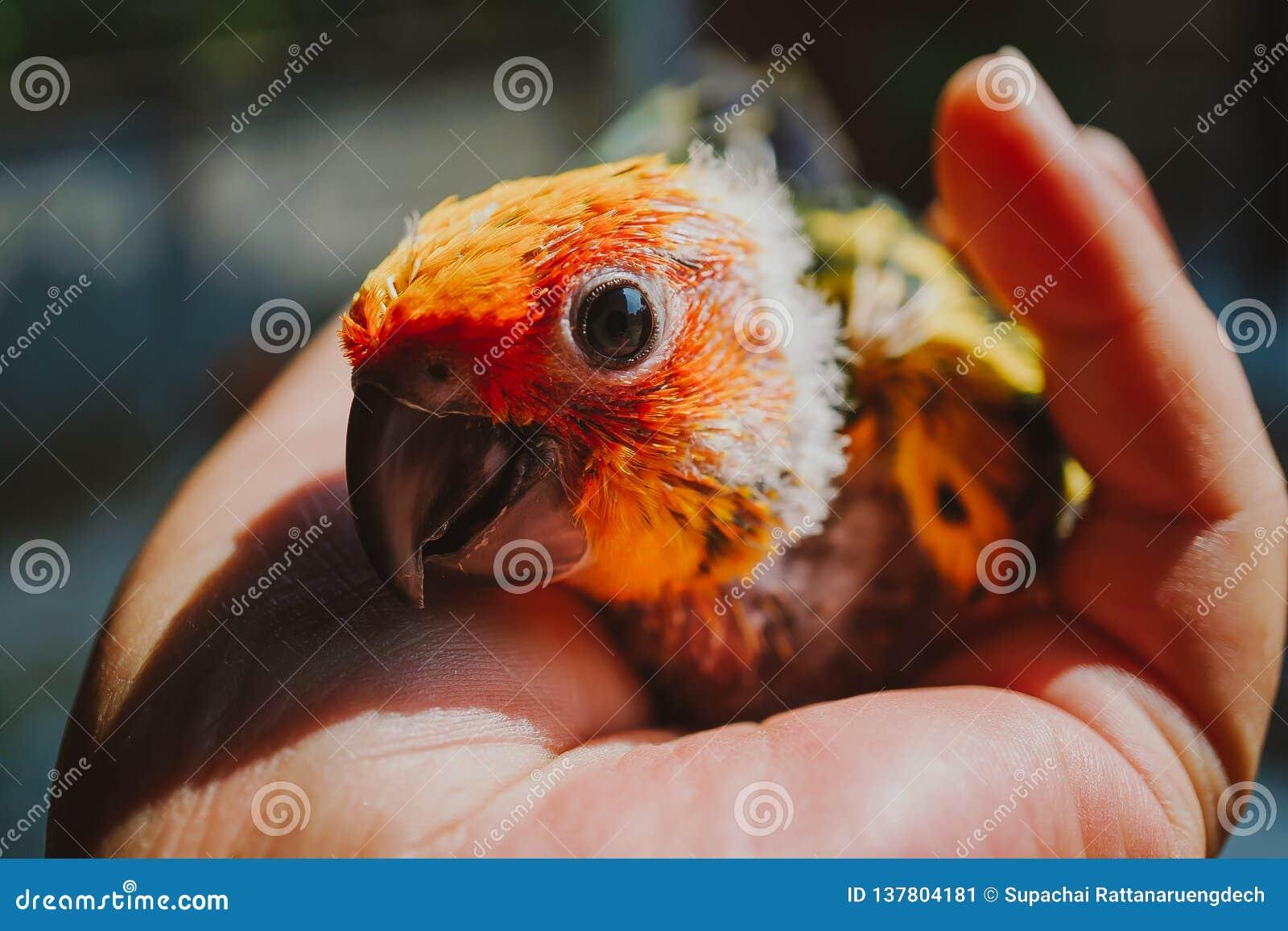 CloseupsolConure fågel