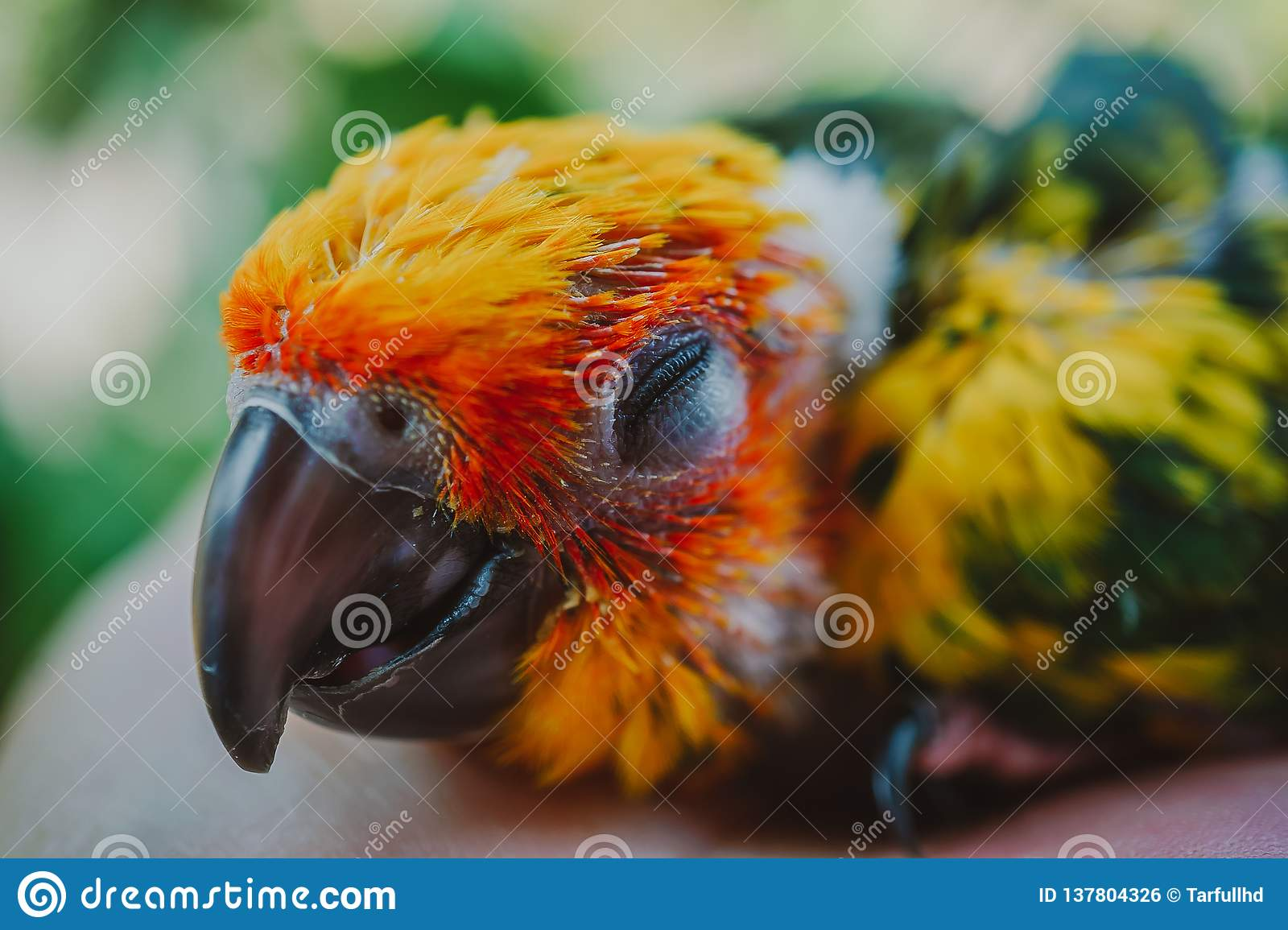 CloseupsolConure fågel