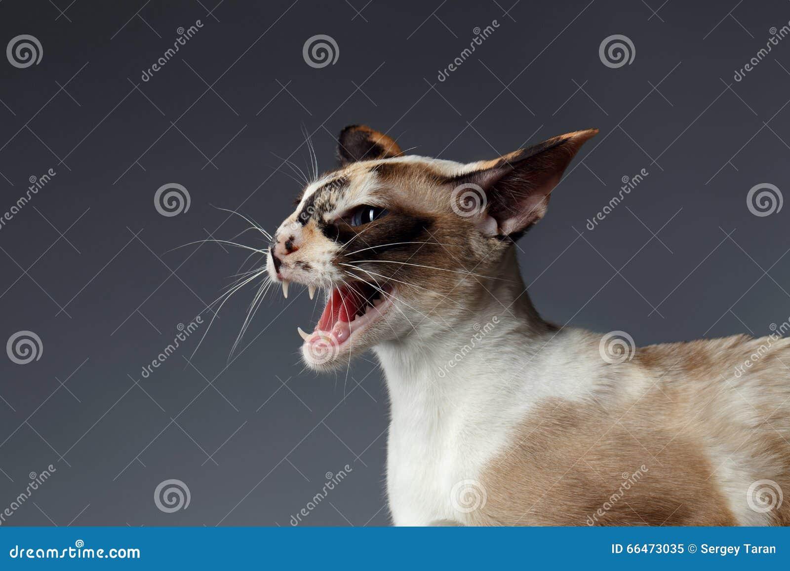 Closeupstående av den orientaliska katten för väsande ljud på blått