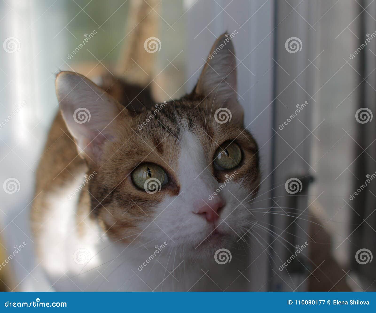Closeupstående av en vit katt för härlig strimmig katt med gröna ögon som står på en fönsterfönsterbräda
