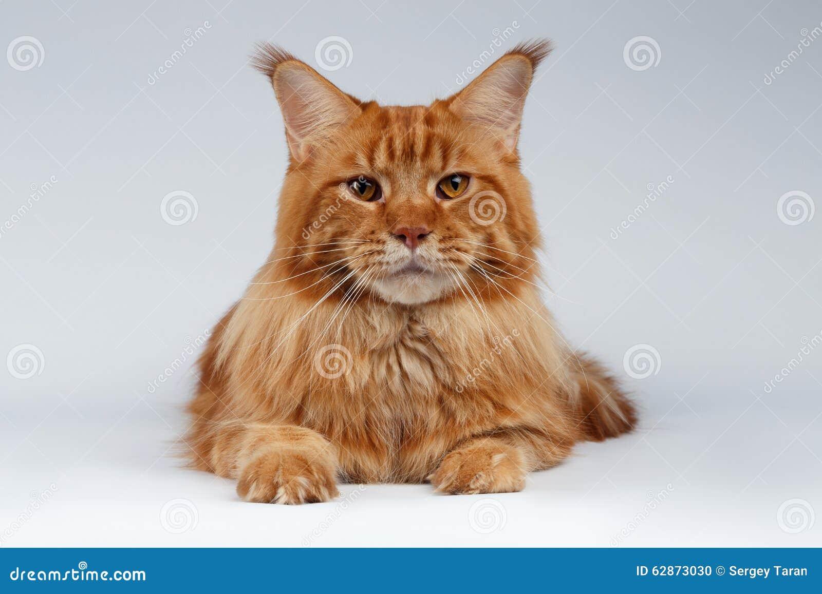 Closeupstående av Maine Coon Cat Lies på vit