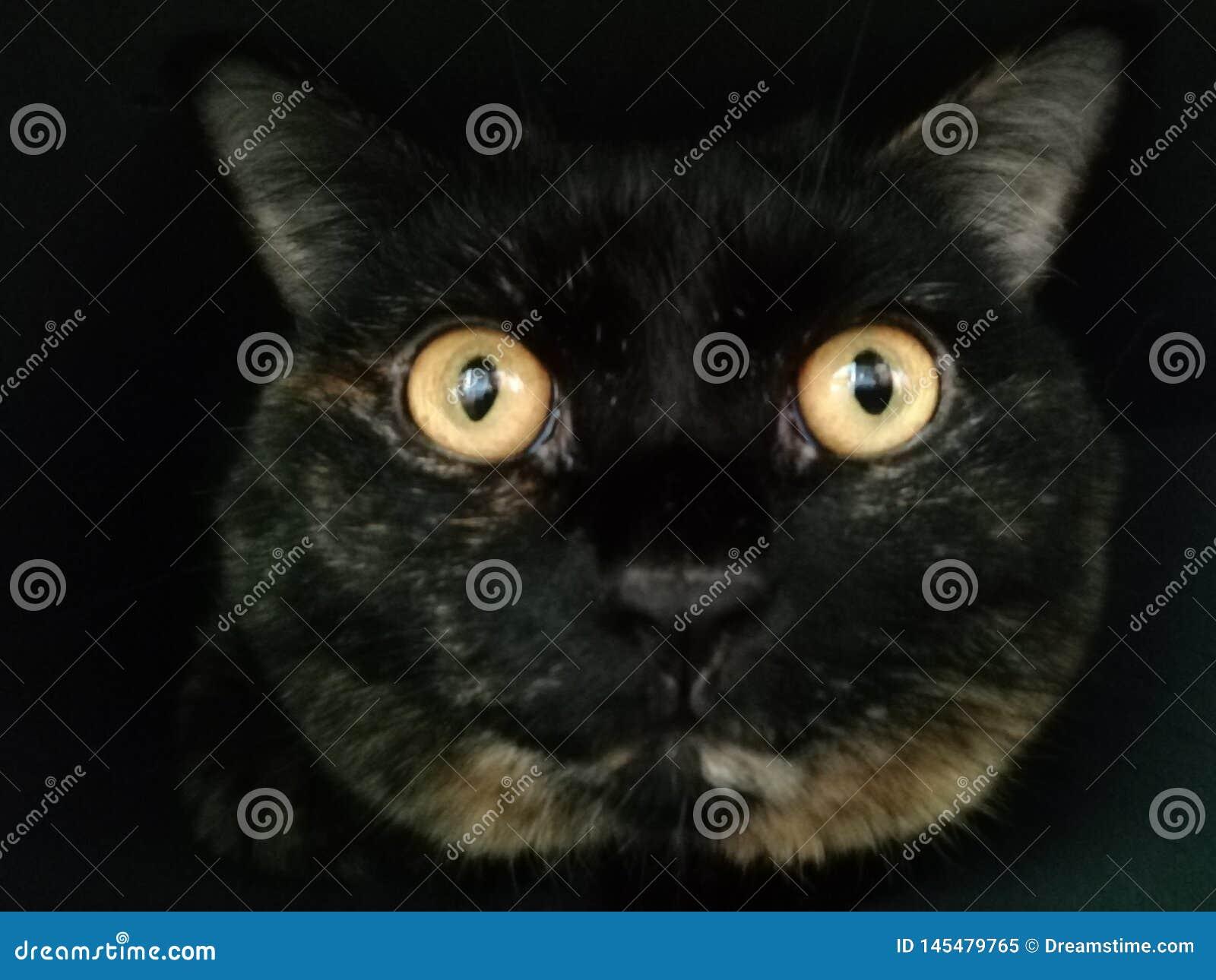 Closeupst?ende av den brittiska katten