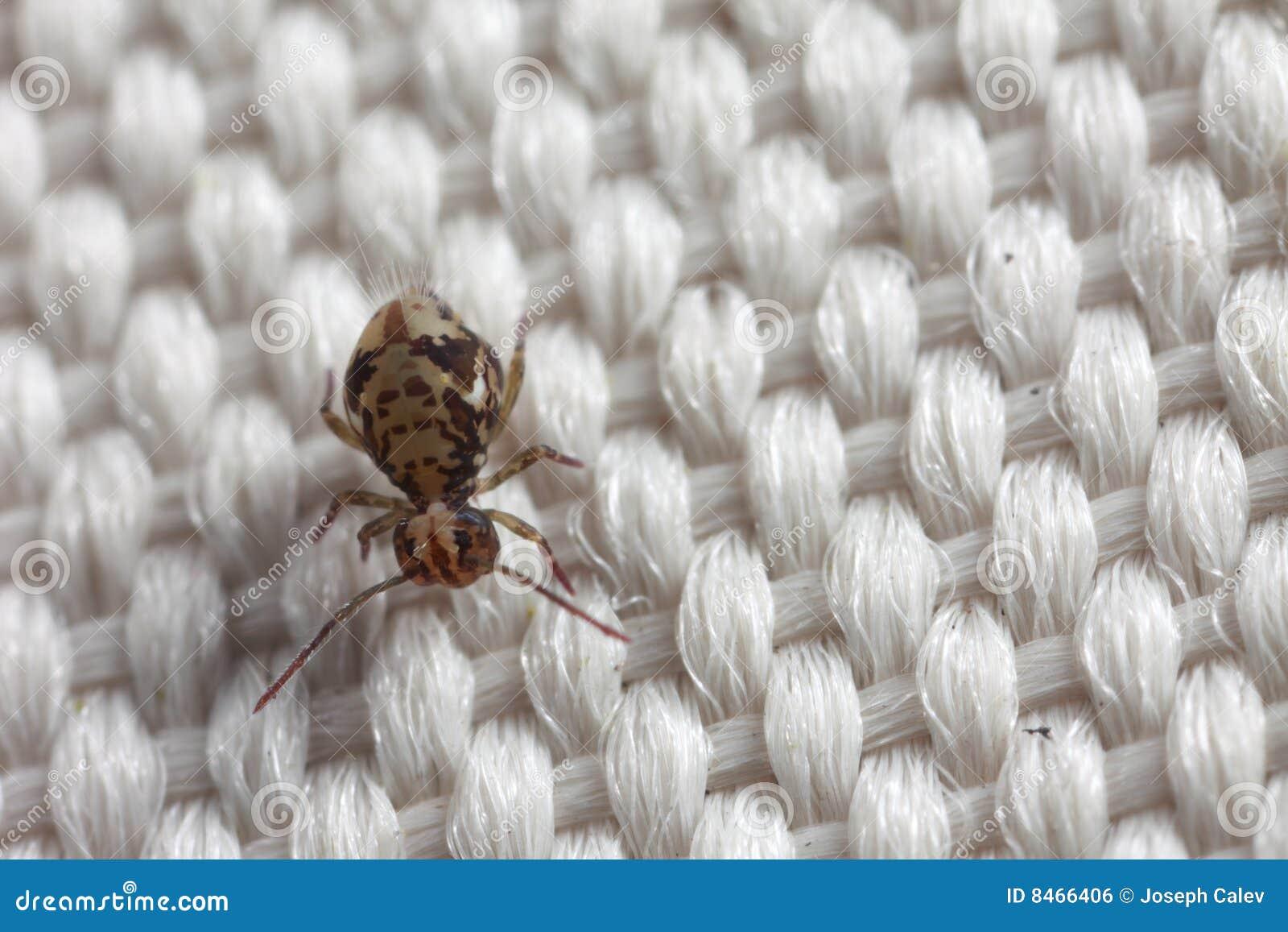 Closeuptygspringtail
