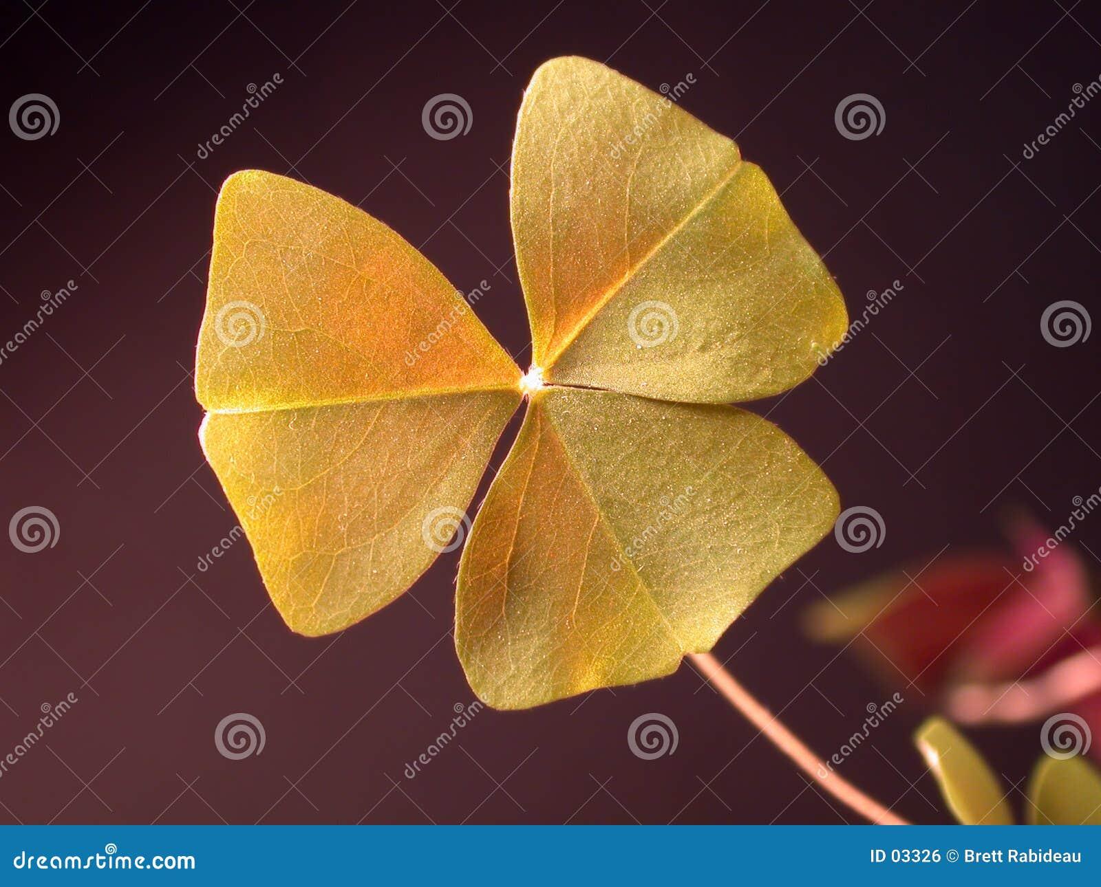 Closeupväxt av släkten Trifoliumshamrock
