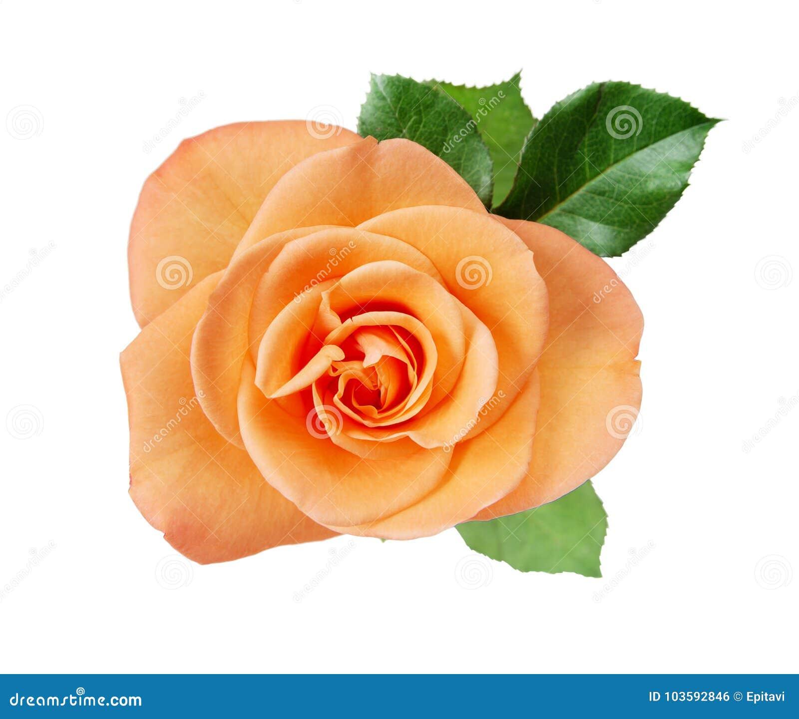 Closup de rose de rose sur le blanc