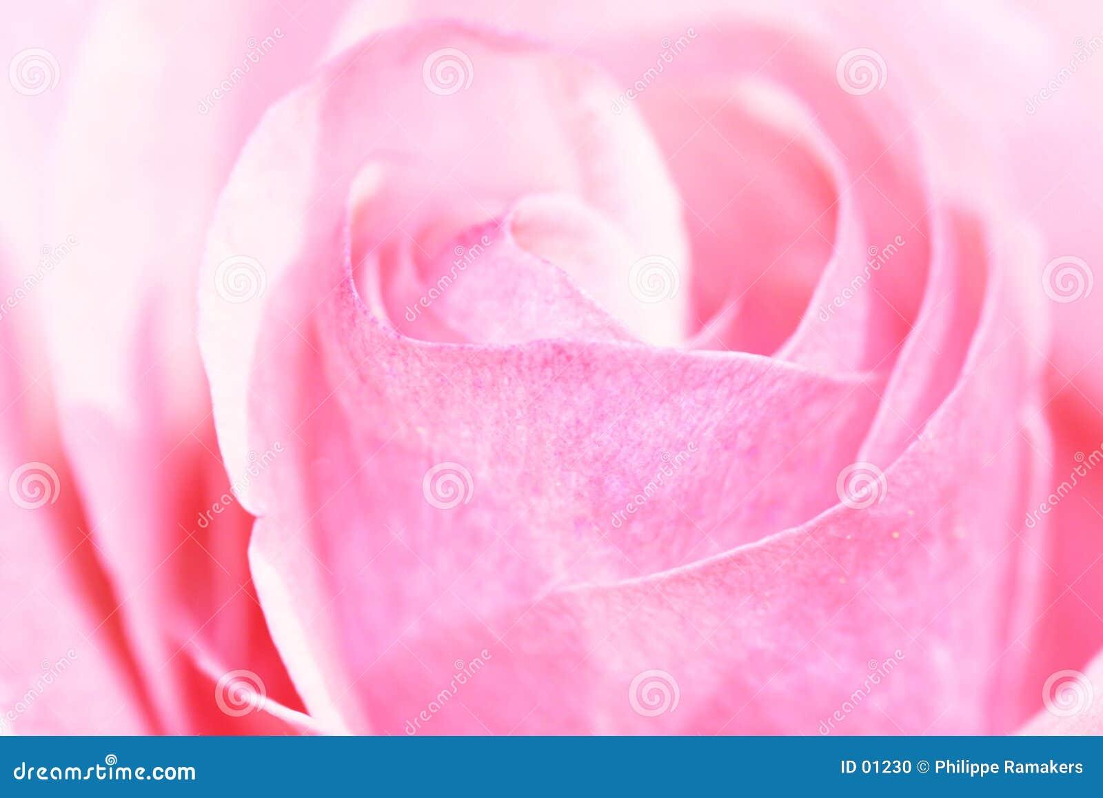 Closup rose de rose
