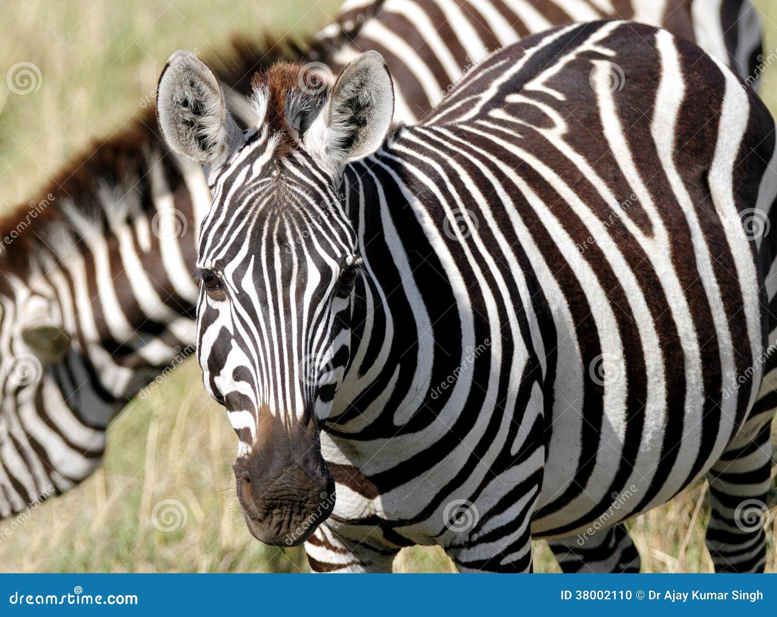 closure look of a beautiful zebra stock photo image. Black Bedroom Furniture Sets. Home Design Ideas