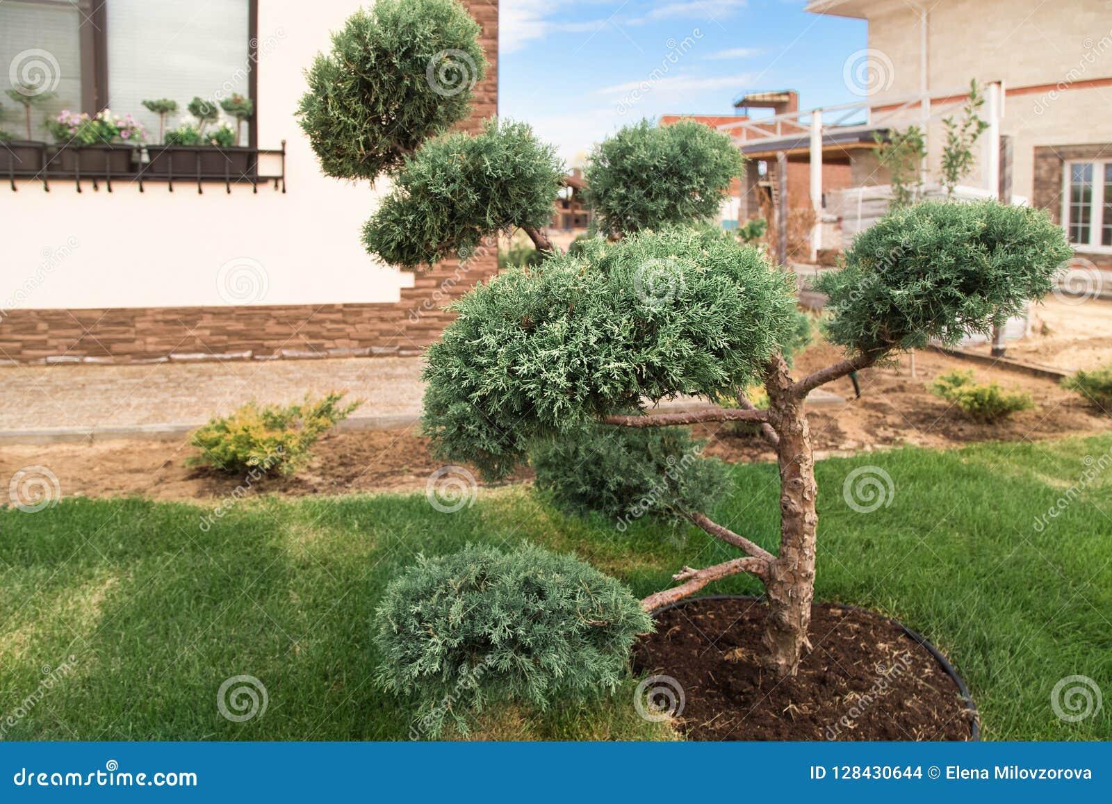Cloud Pruned Topiary Tree Bonsai Tree Stock Photo Image Of
