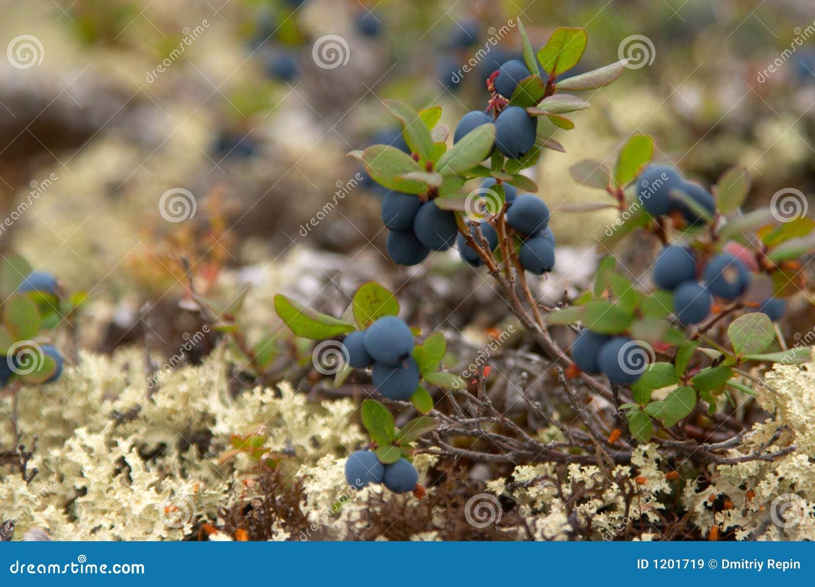 Cloudberry harvest