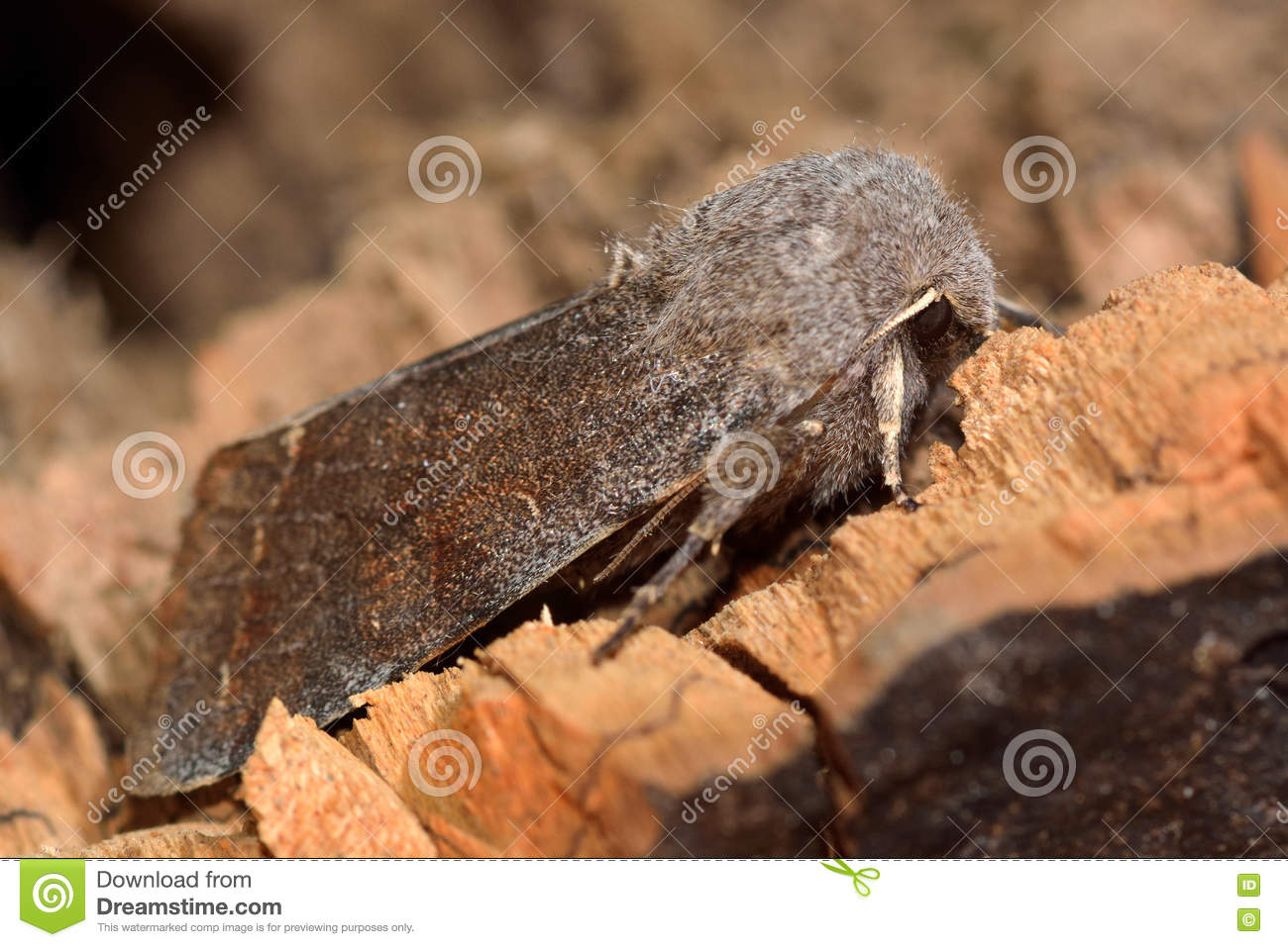 Clouded drab moth (Orthosia incerta) in profile