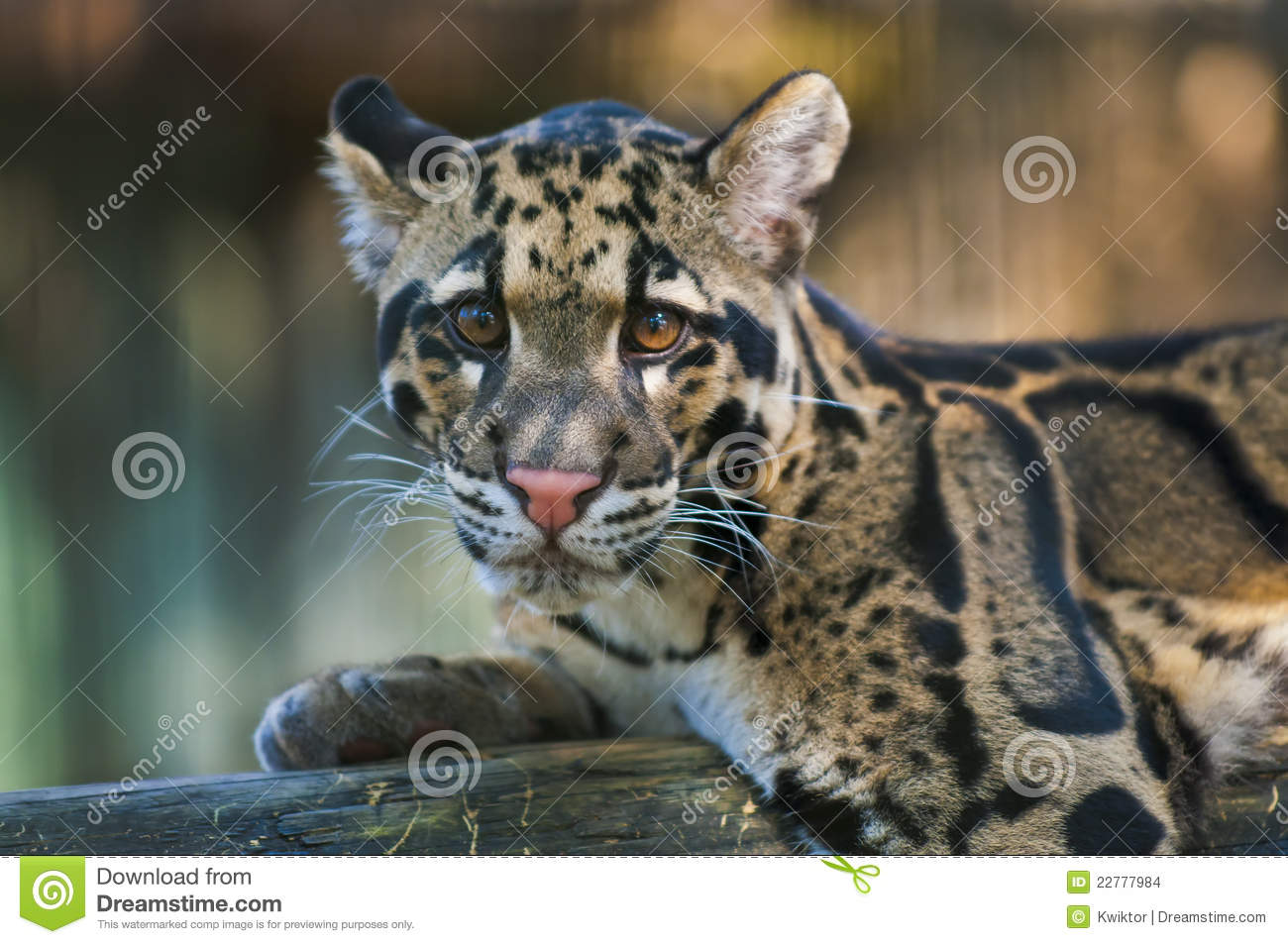 Download Clouded Leopard stock photo. Image of nervous, carnivore - 22777984