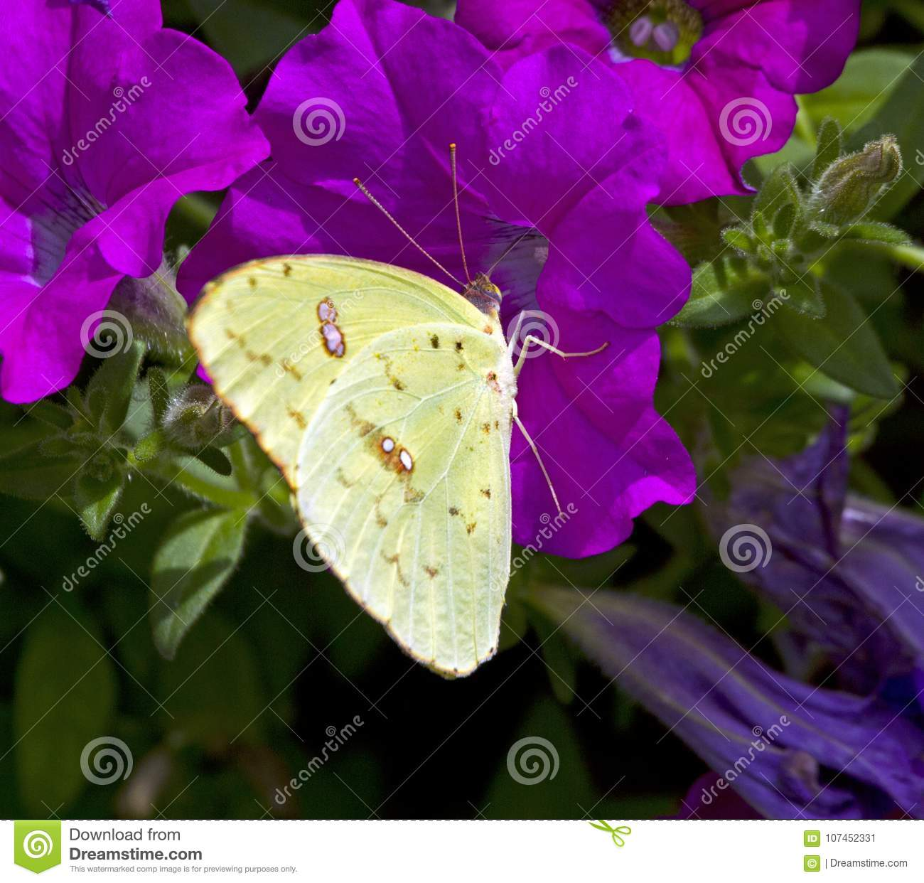 Clouded Sulphur Yellow Butterfly On Petunia Stock Image