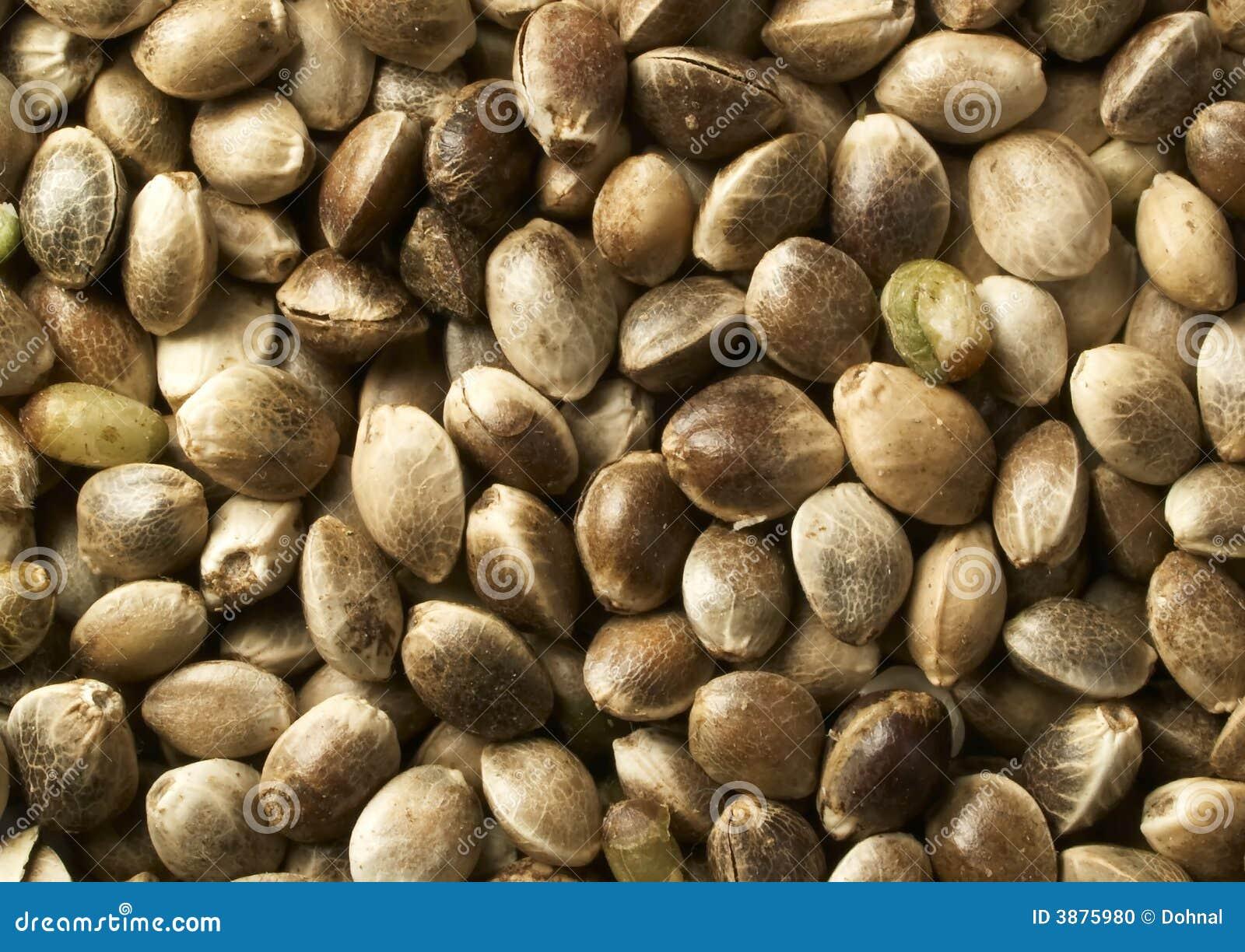 Clouse-up del seme di canapa