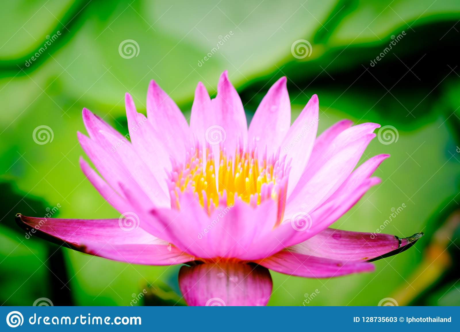 Clouse Up Image On Blooming Pink Lotus Flower Natural Background