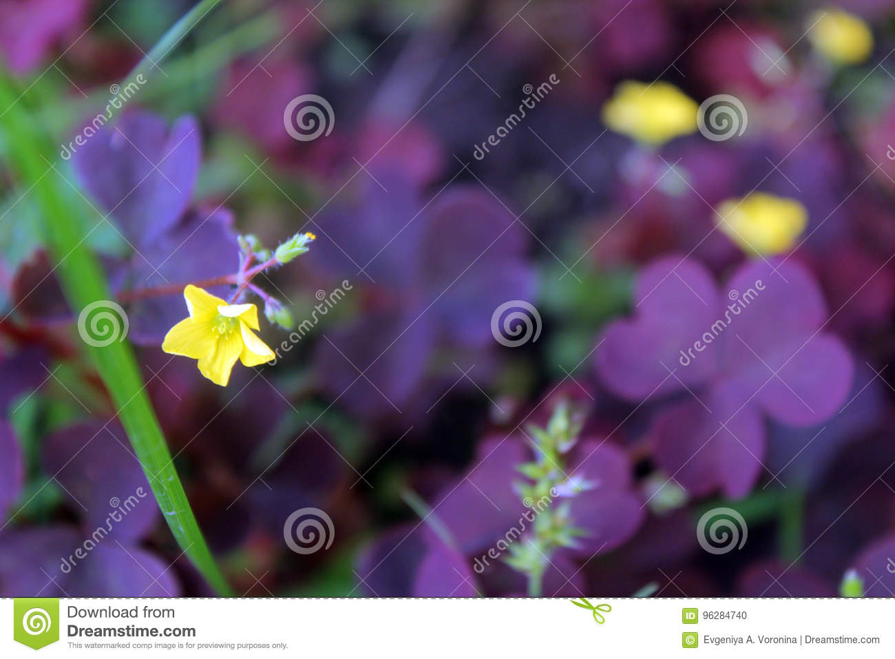 Clover in bloom 2 stock photo image of dacha summer 96284740 a blooming with yellow flowers clover with leaves of unusual violet colour mightylinksfo
