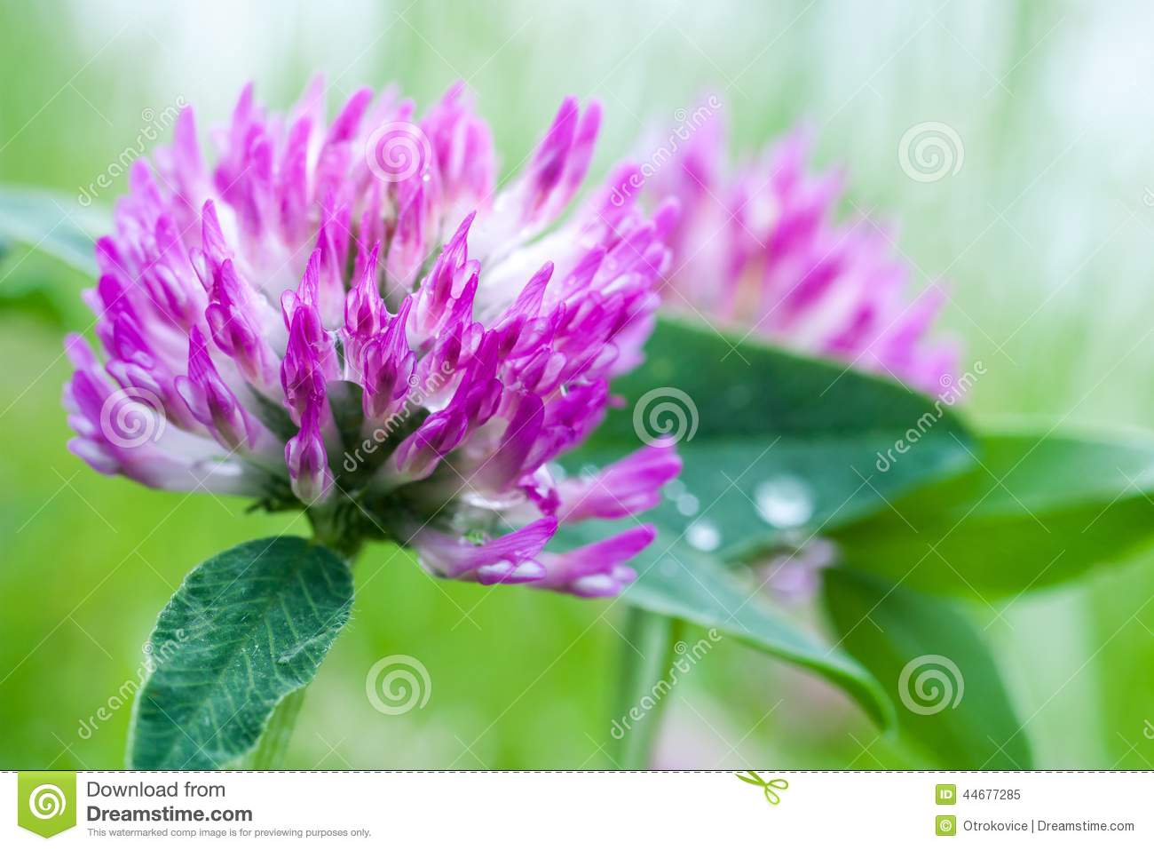 Clover Flower Stock Image Image Of Nature Pink Macro 44677285