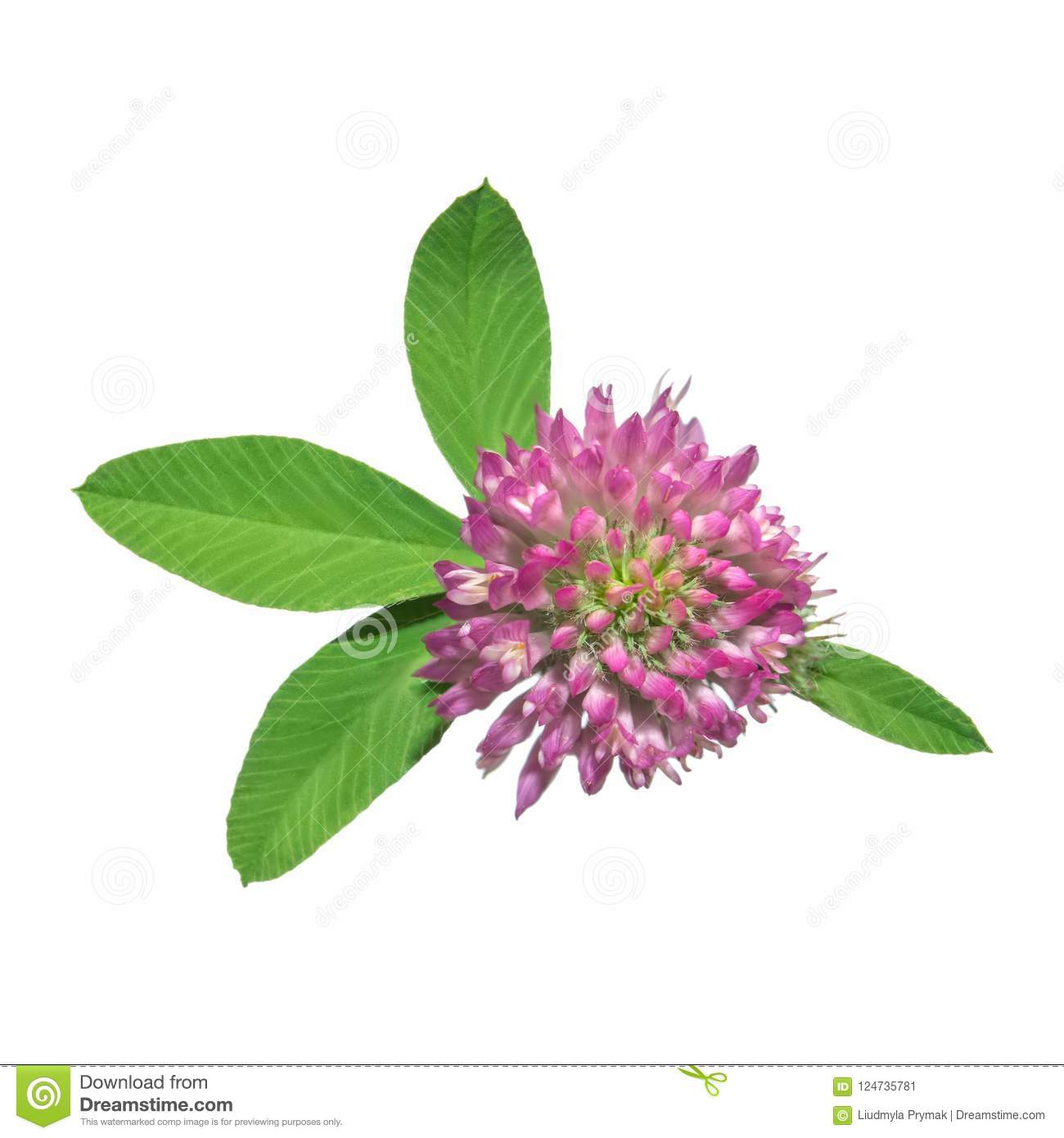 Clover Flower Isolated On White Background Stock Image Image Of
