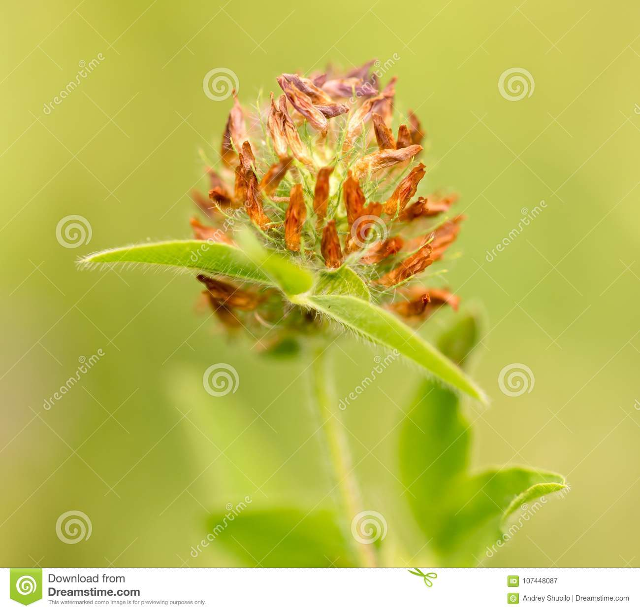 Clover Flower On Nature Stock Image Image Of Herbal 107448087