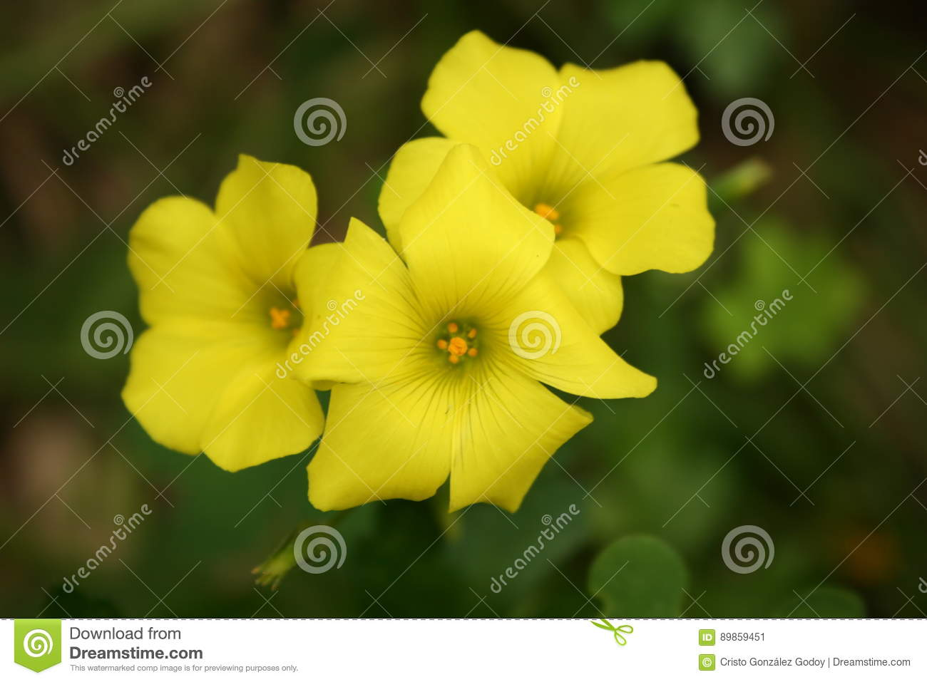 Yellow Clover Flowers Stock Image Image Of Flowered 89859451