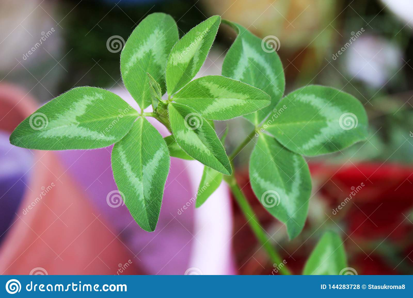 Clover leaf close up. Green plant