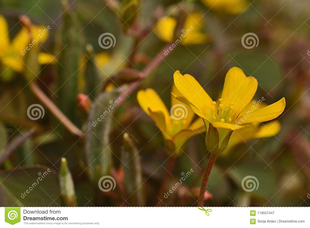 Clover yellow flower choice image fresh lotus flowers tiny yellow flower the leaves of clover as in detail stock image mightylinksfo