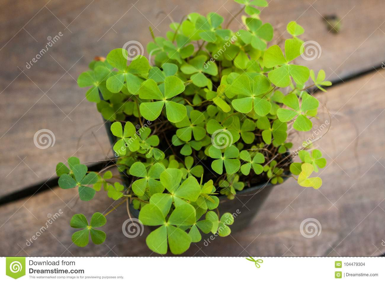 Clover Like Plant On A Wooden Table Stock Photo Image Of Growing