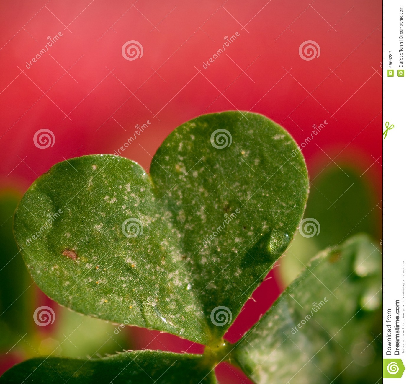 Clover Love Stock Photo Image Of Detail Green Shaped 6966282