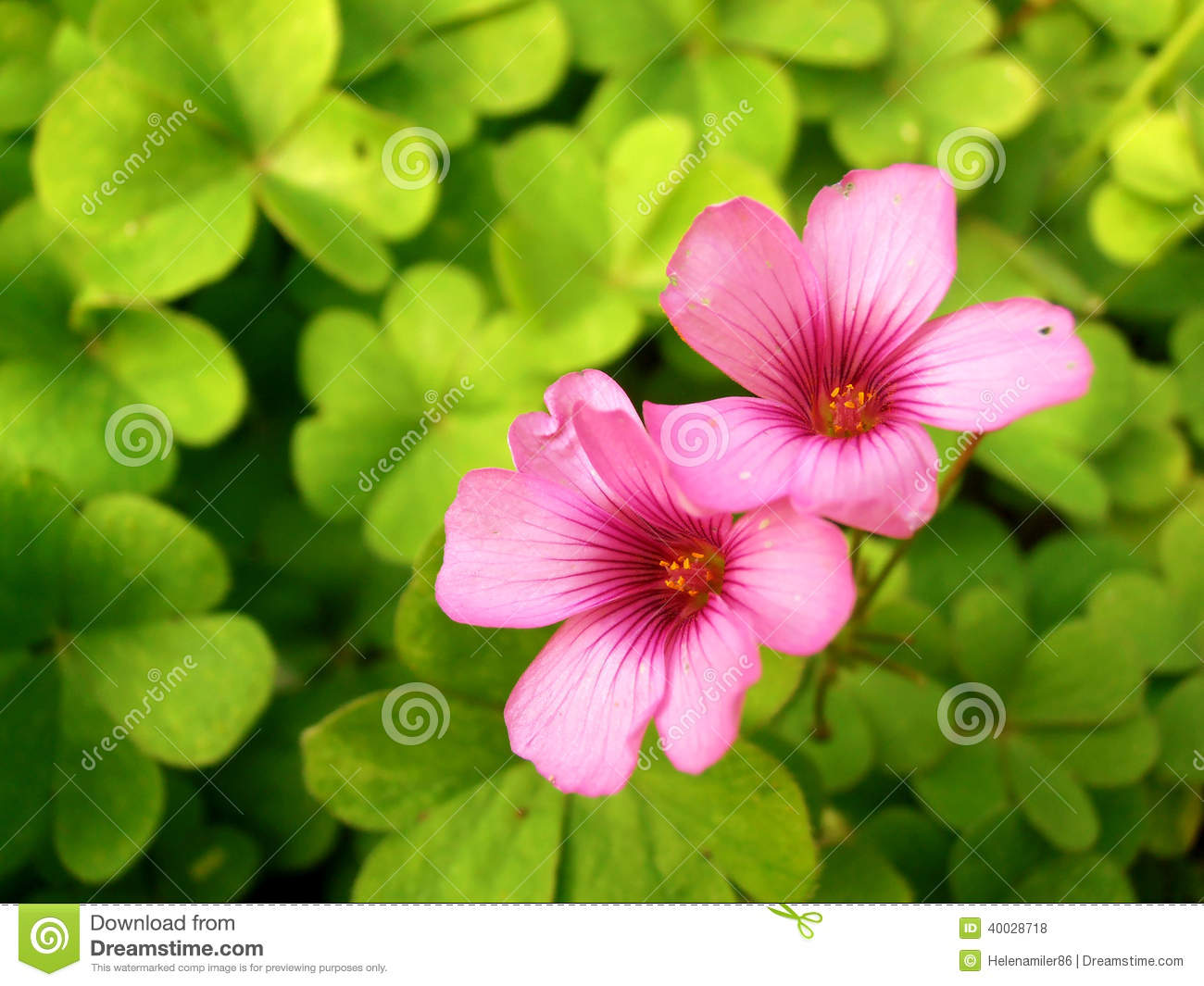 Clover And Pink Flowers Stock Photo Image Of Gain Love 40028718