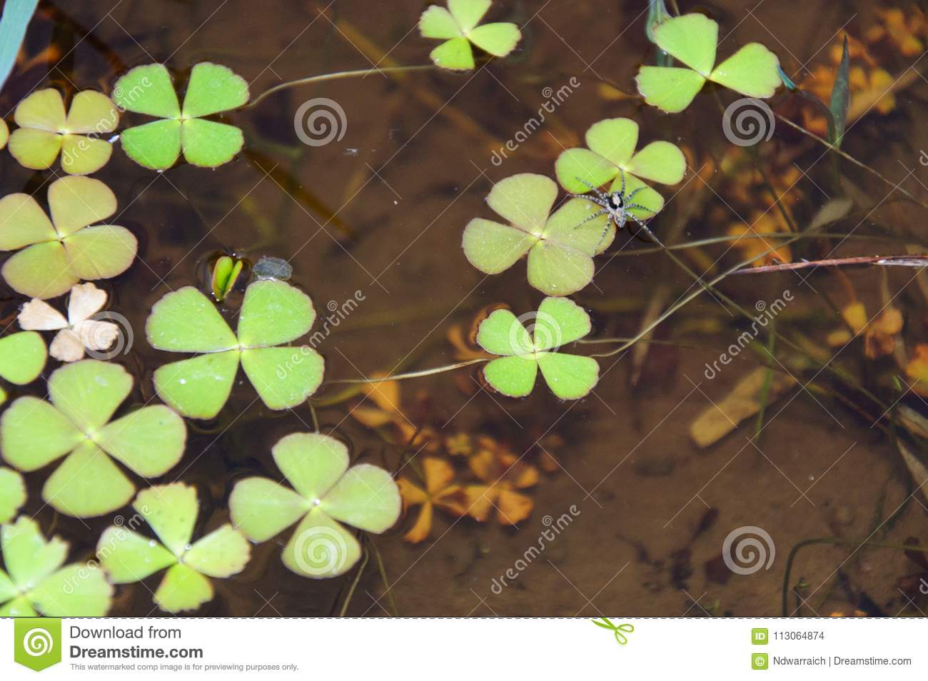 The Clover Plant In The Water Stock Photo - Image of outdoors ...