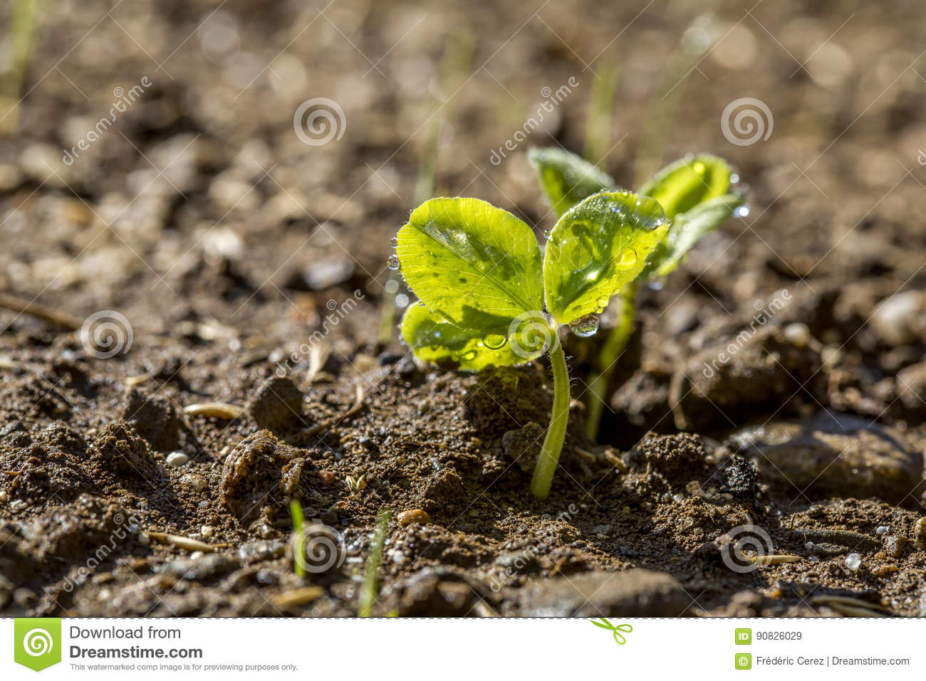 Clover sprout closeup stock image. Image of grass, garden - 90826029
