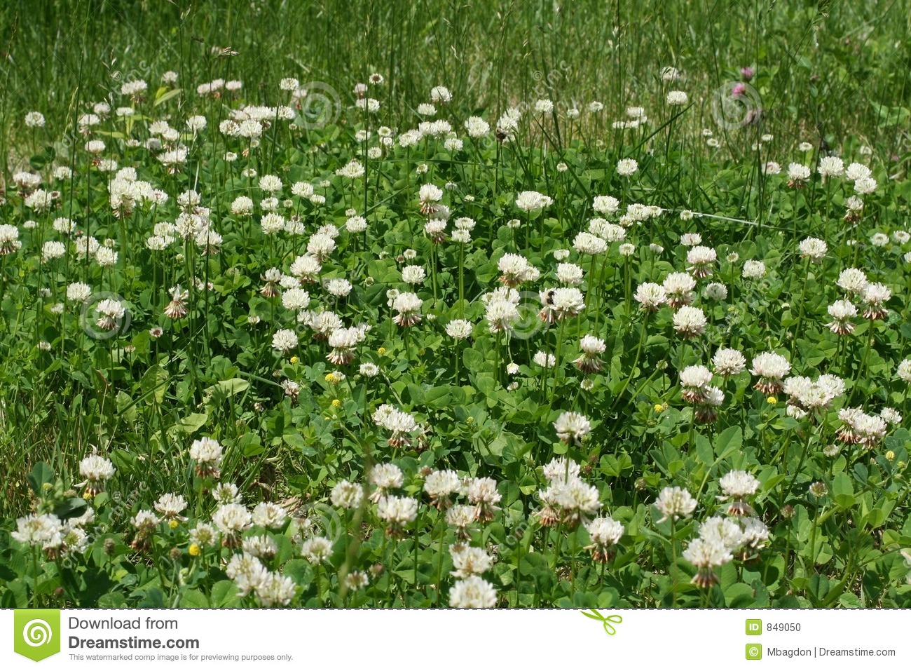 Clovers And White Weed Flowers Stock Photo Image Of Lawn Flower