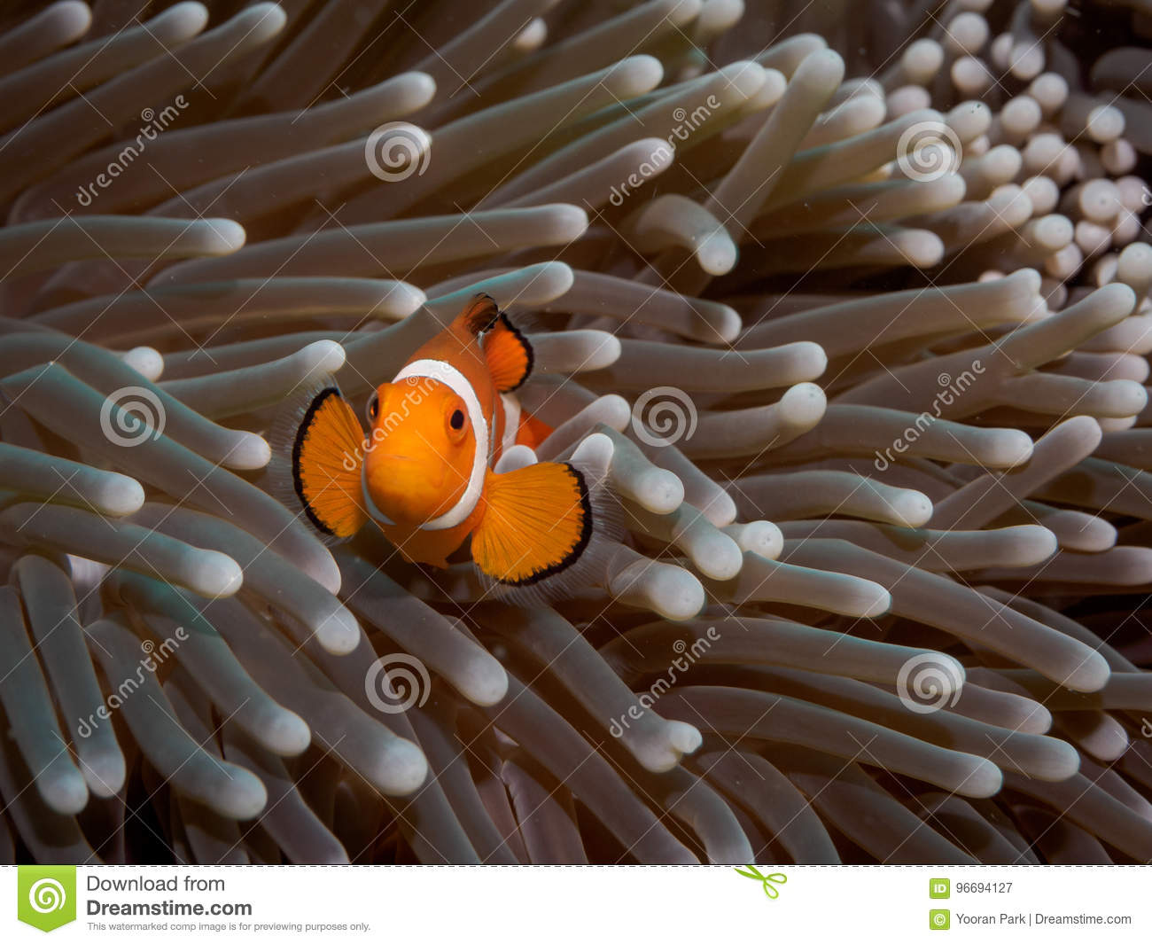 Clown anemone fishNemo in anemone