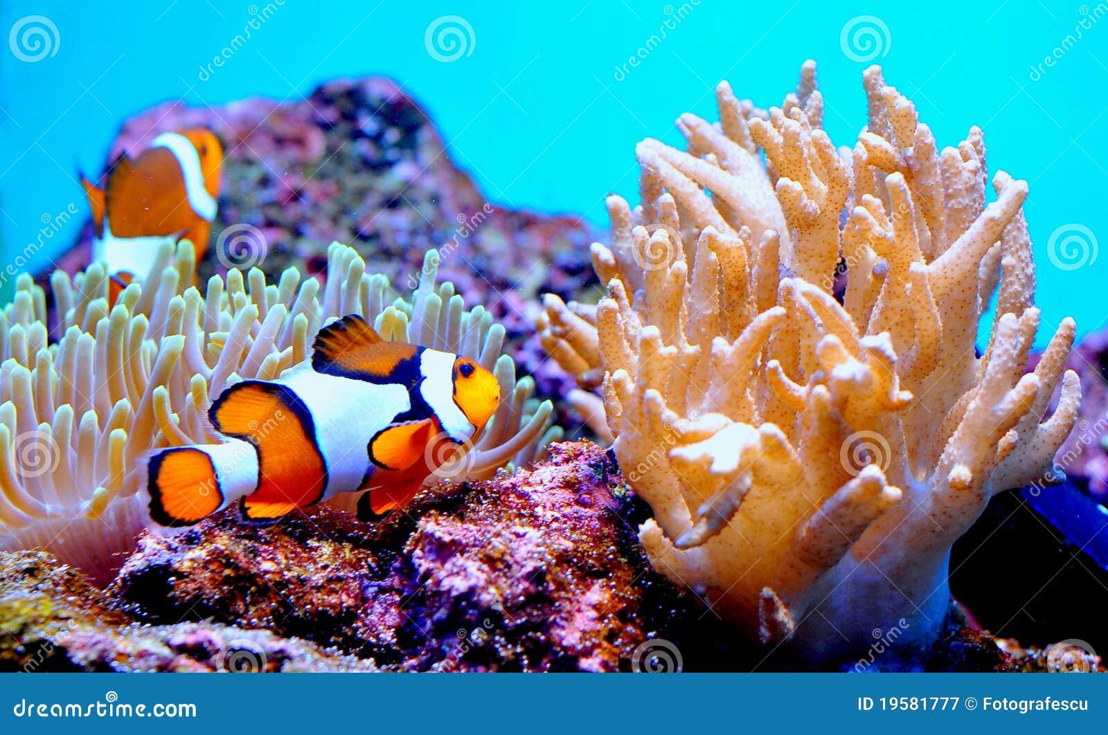 Clown-Fische