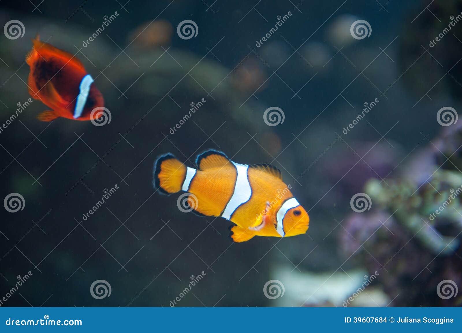 Clown Fish à l aquarium du Pacifique dans Long Beach
