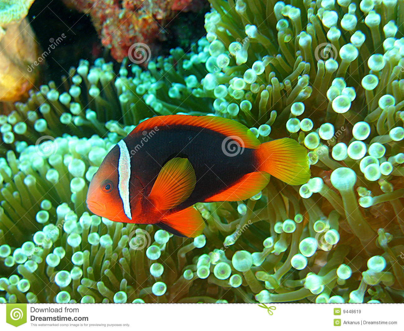 How to Breed Clownfish