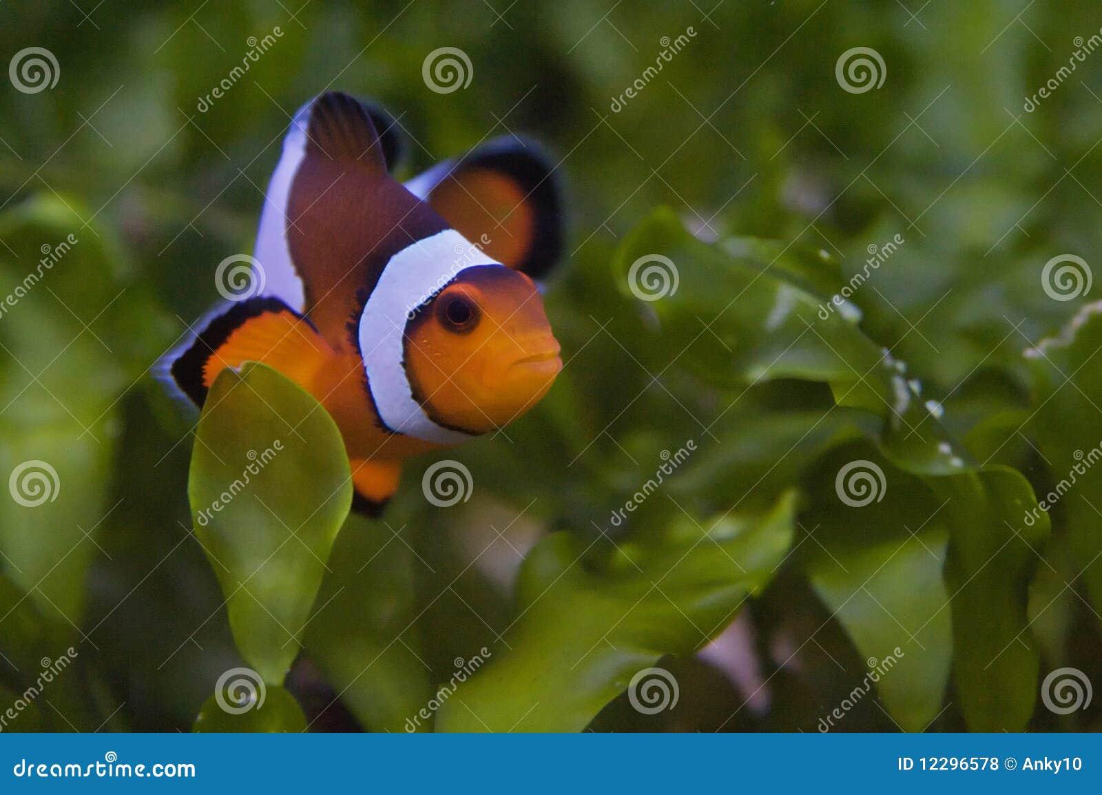 Raising Clownfish