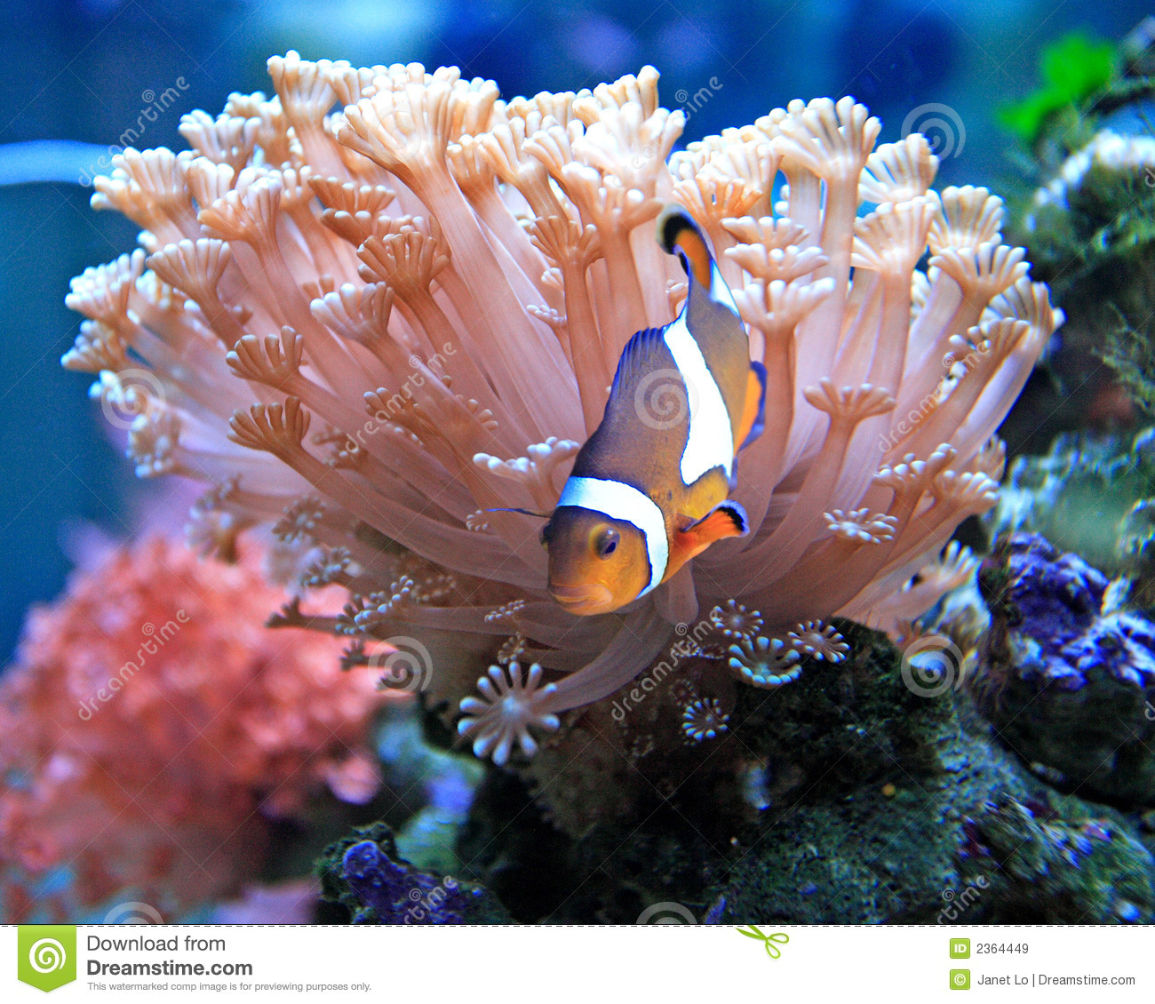 Clown fish stock image image of soft habitat clown for Dream of fish swimming