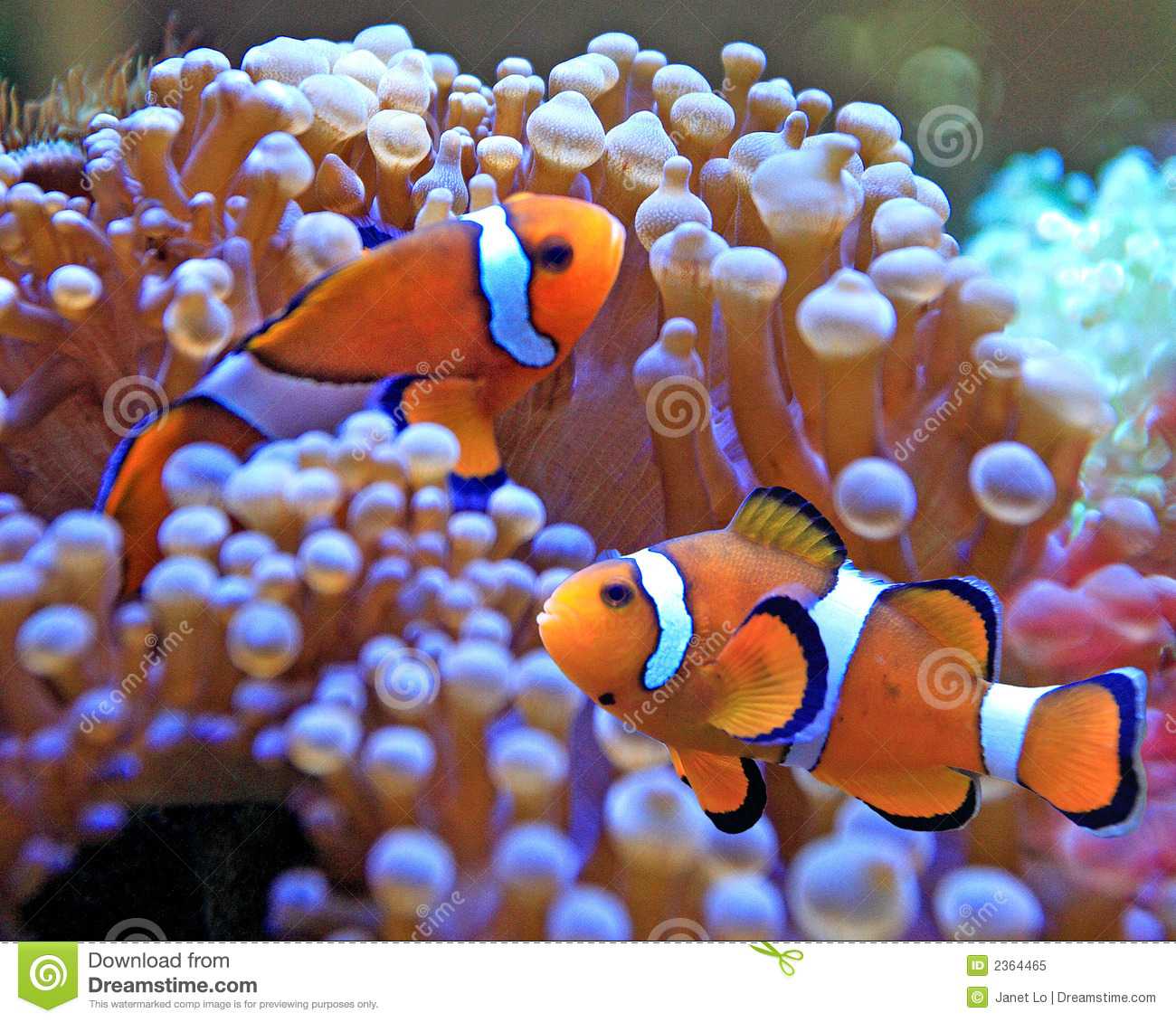 Clown fish royalty free stock photo image 2364465 for Clown fish for sale