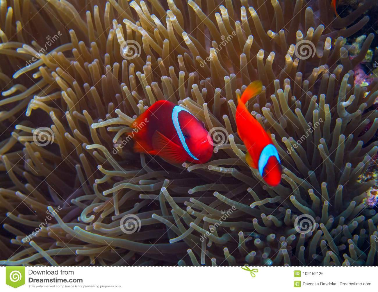 Clown Fish In Actinia. Orange Clownfish In Anemone. Coral Fish ...