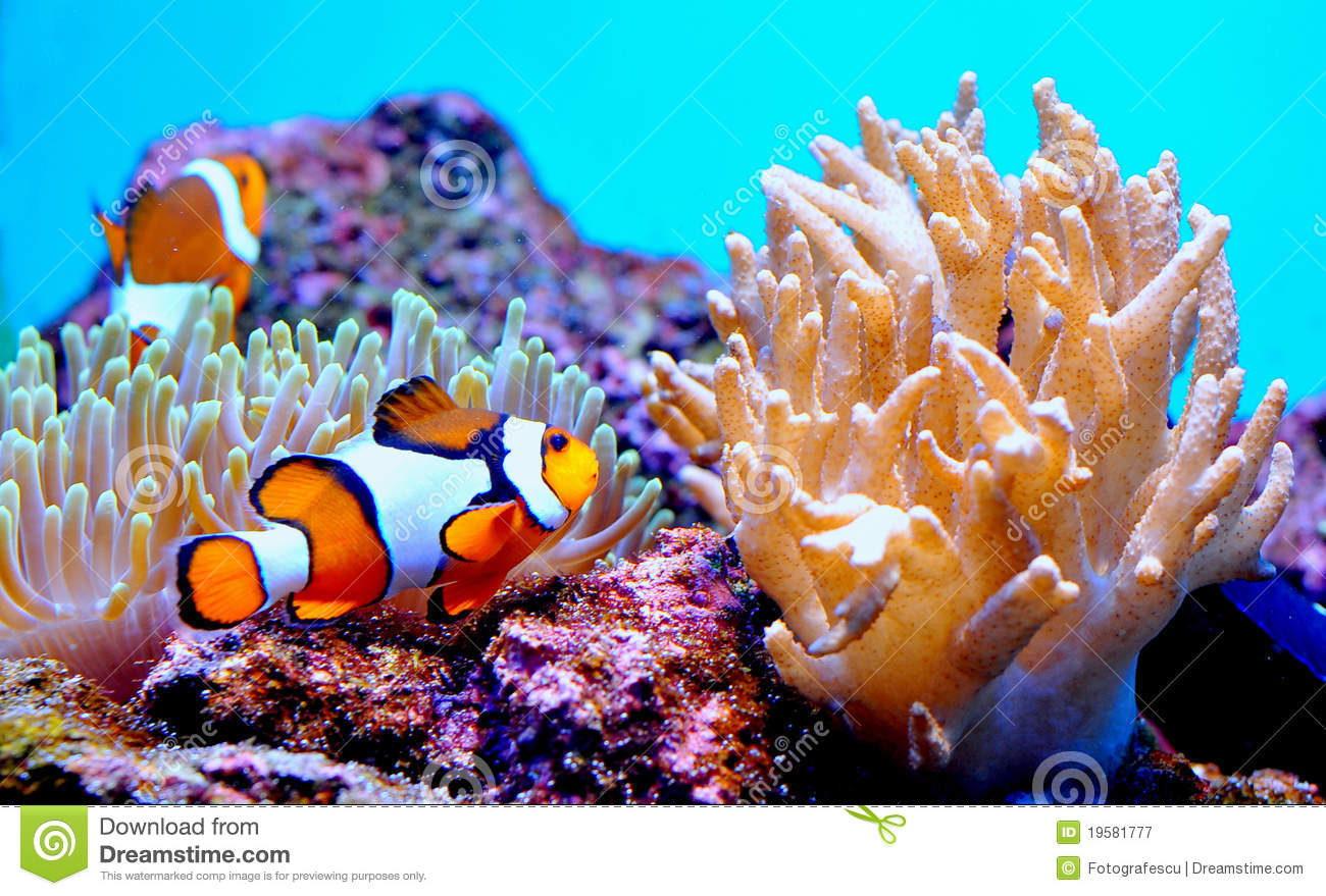Clown fish in anemone royalty free stock photography for Dream of fish swimming