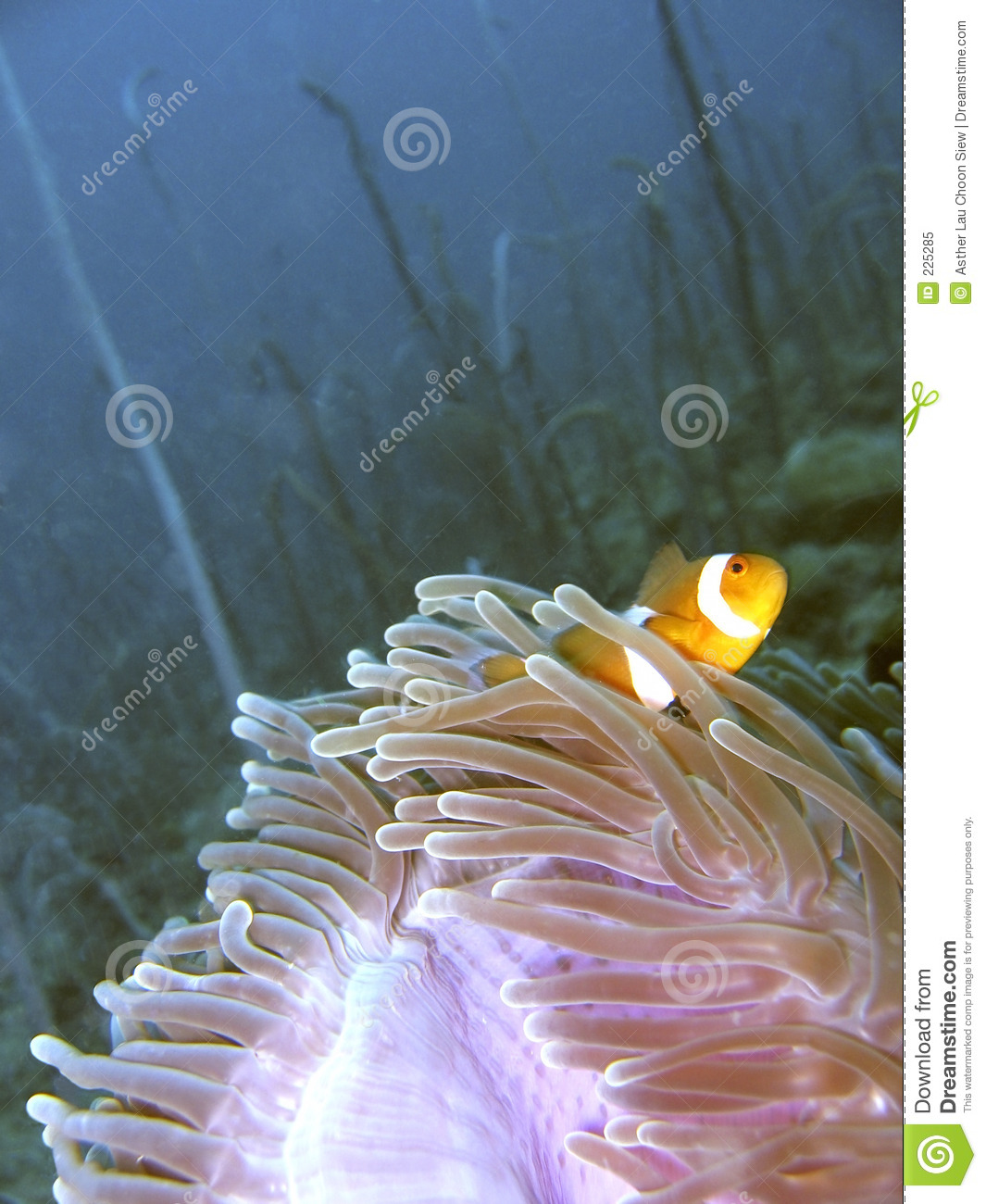 Download Clown fish in anemone stock image. Image of colorful, undersea - 225285