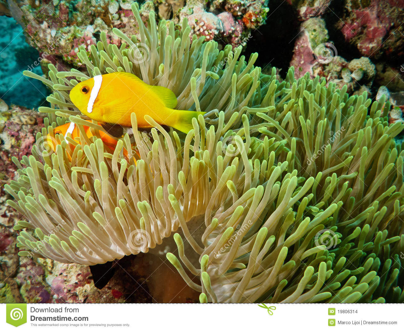 Clown fish and anemone in coral reef stock images image for Clown fish scientific name
