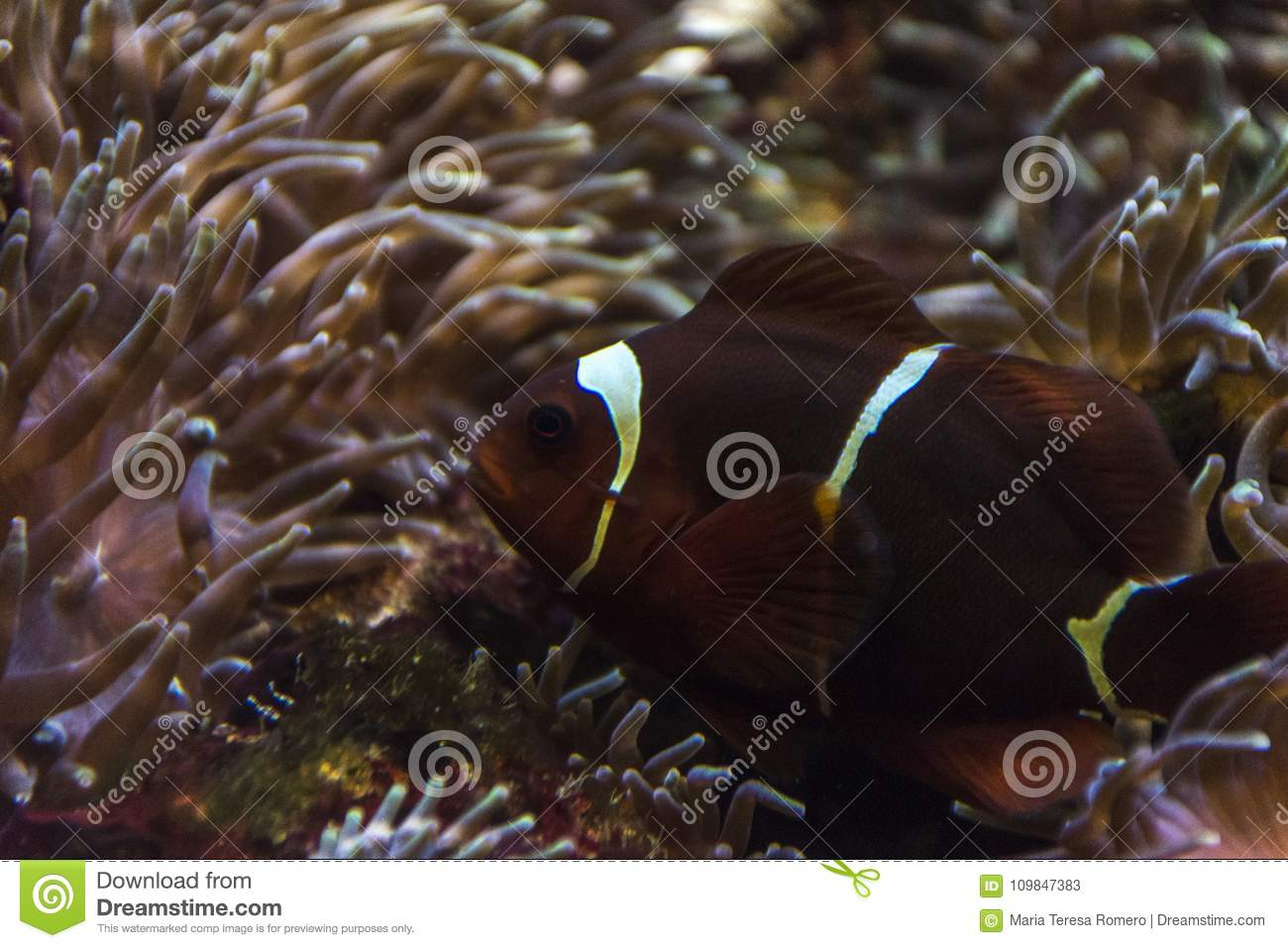 Clown fish among anemones