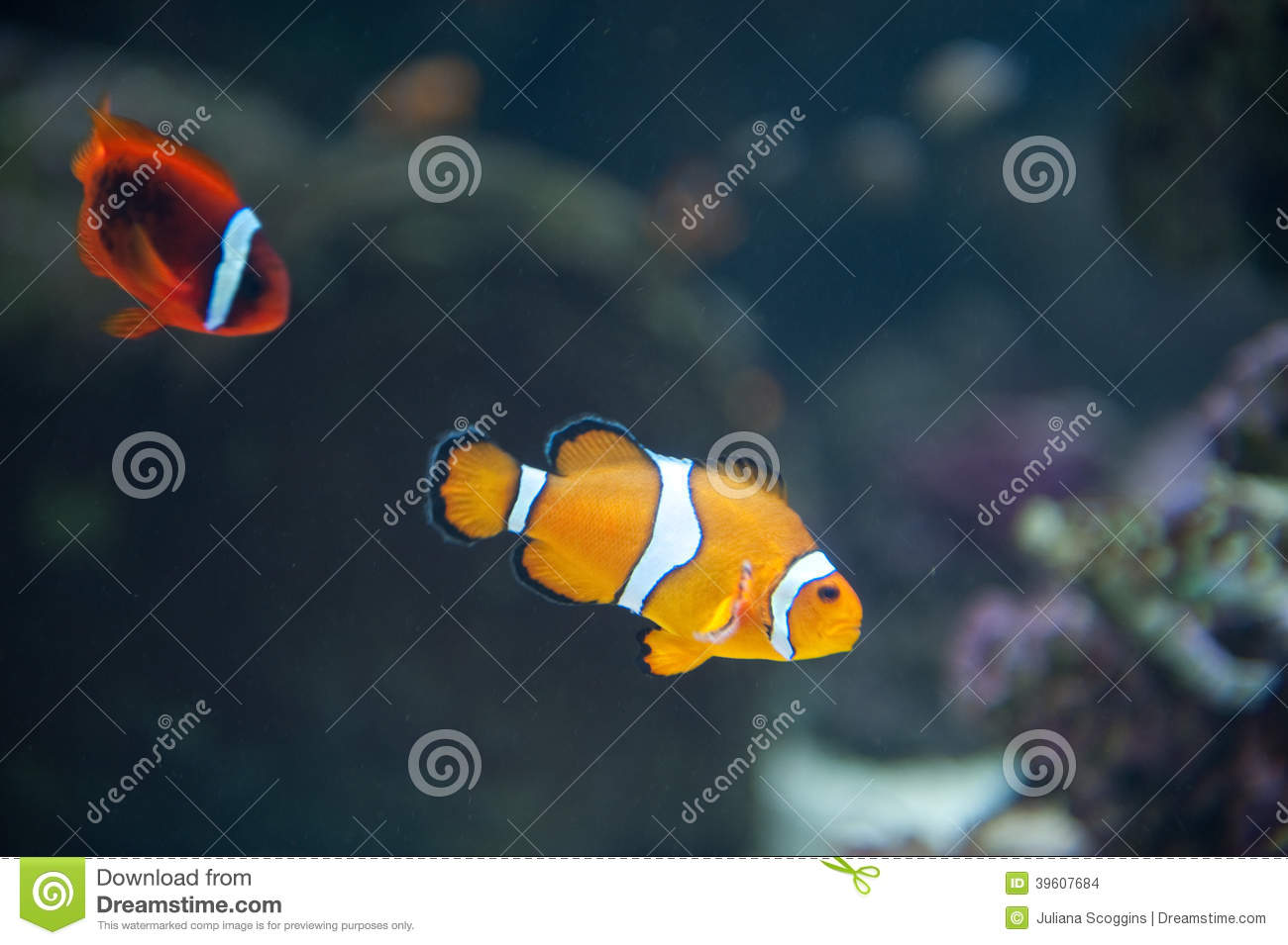 sea anemones and anemonefish a symbiotic relationship video