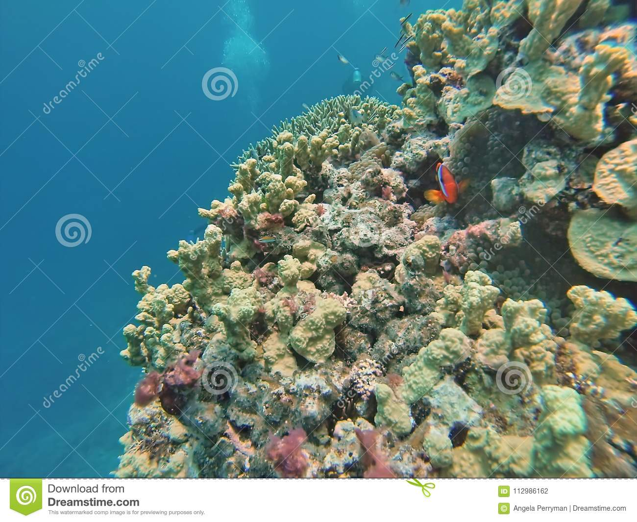 Clown fish on a coral head on the Great Barrier Reef