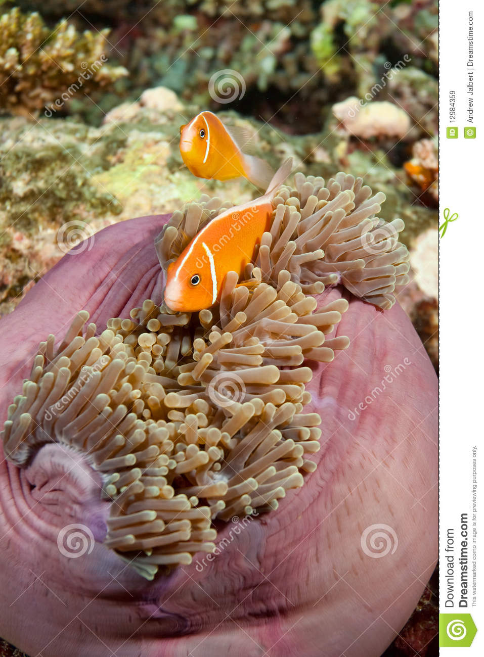 Clown fish fiji royalty free stock images image 12984359 for Closest fish store