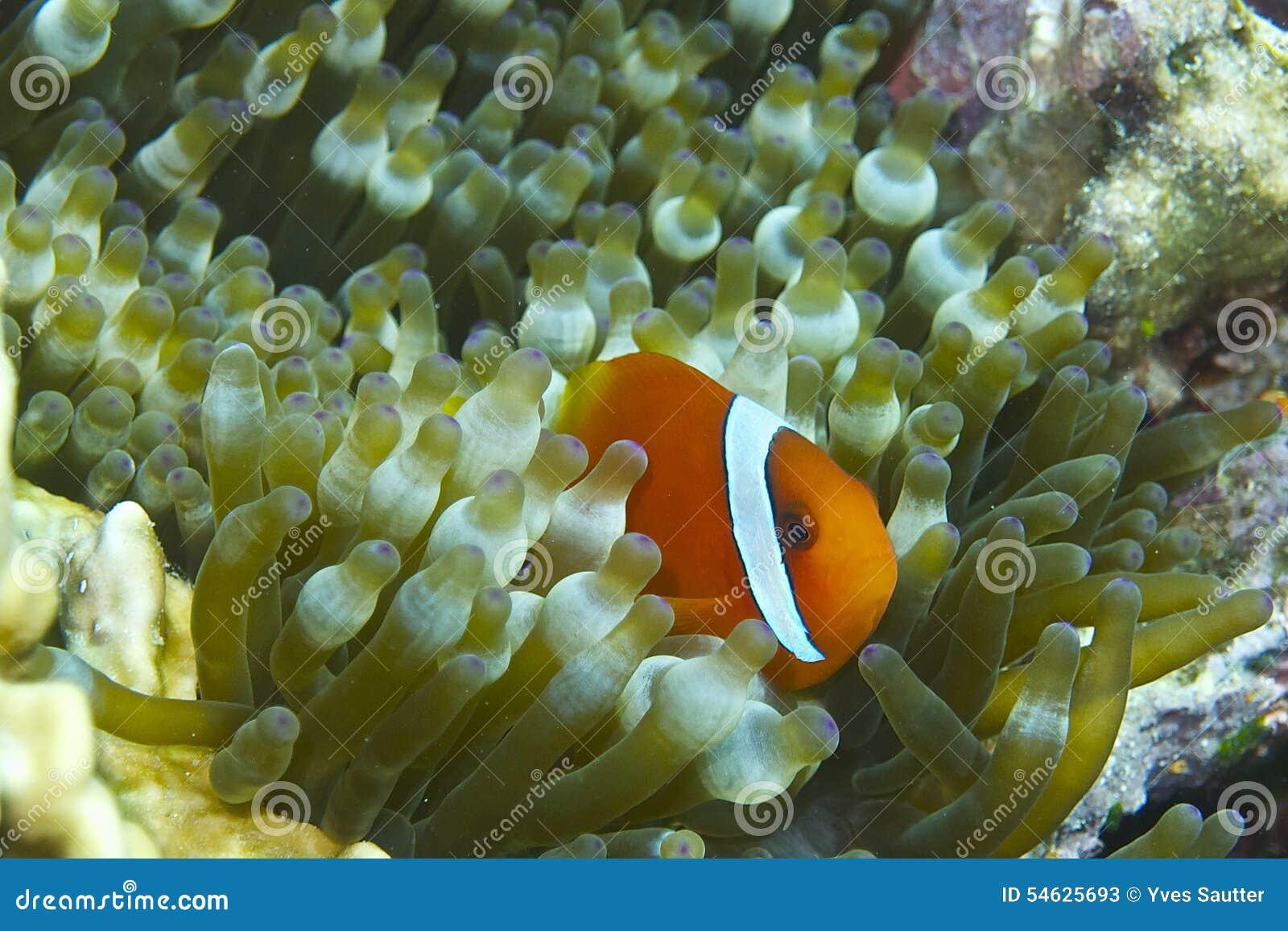 Clown Fish i bubblahavsanemon av fältprästen Burgos, Leyte, Filippinerna