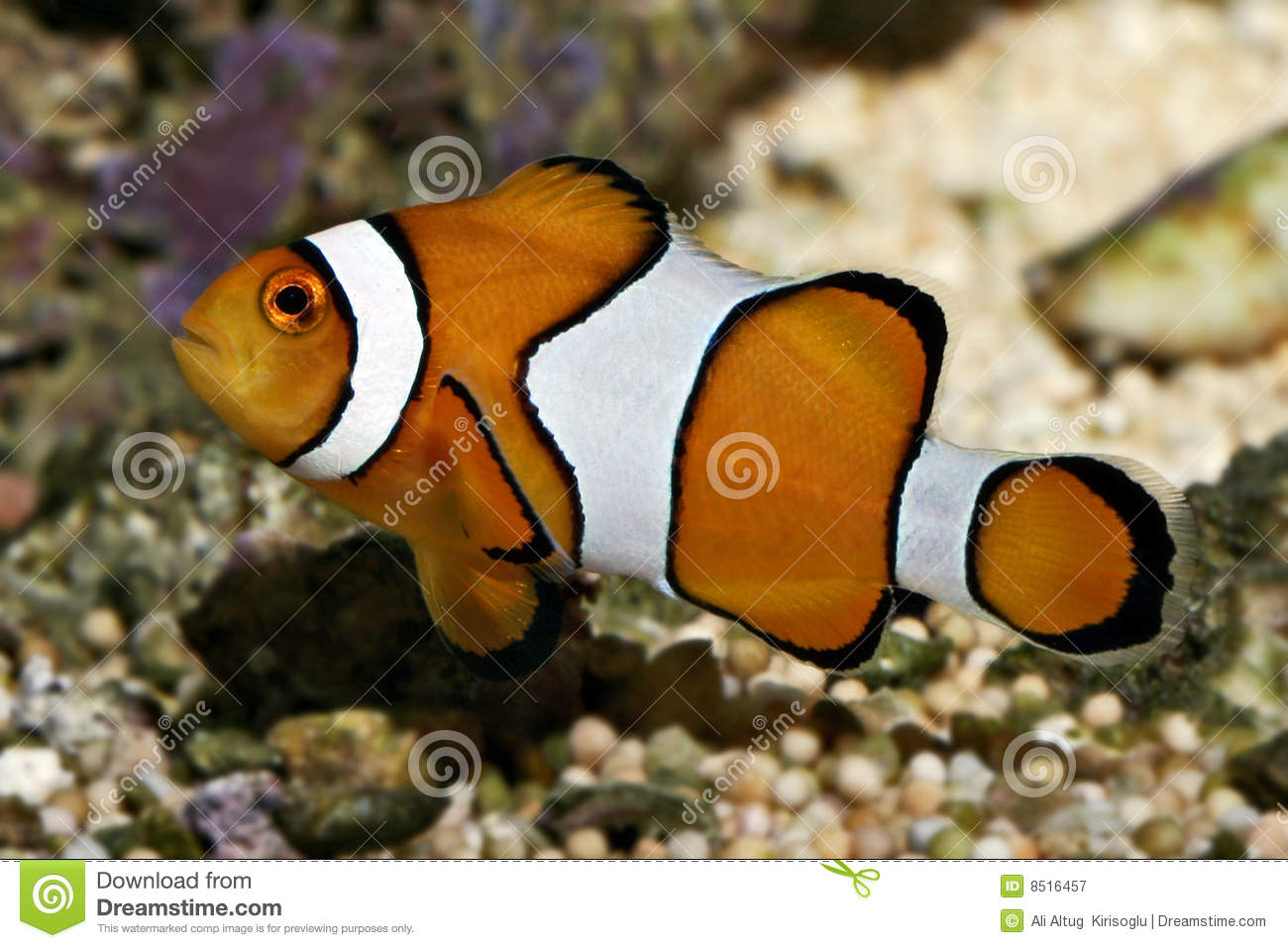 Clown fish known as nemo amphiprion percula royalty free for Clown fish nemo