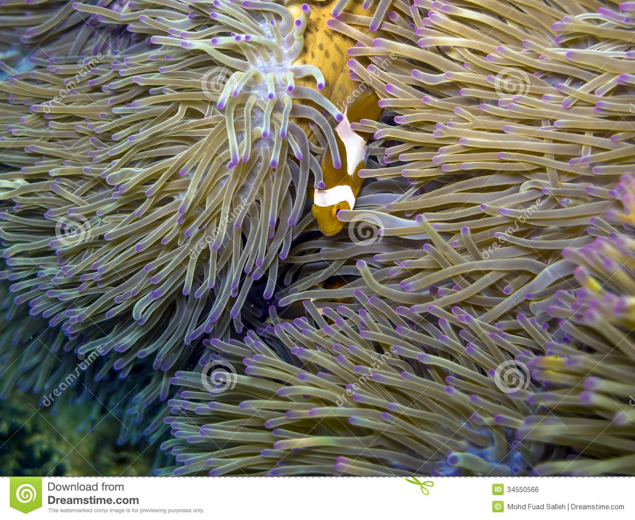 Clown fish nemo at its natural habitat stock photo for Clown fish habitat