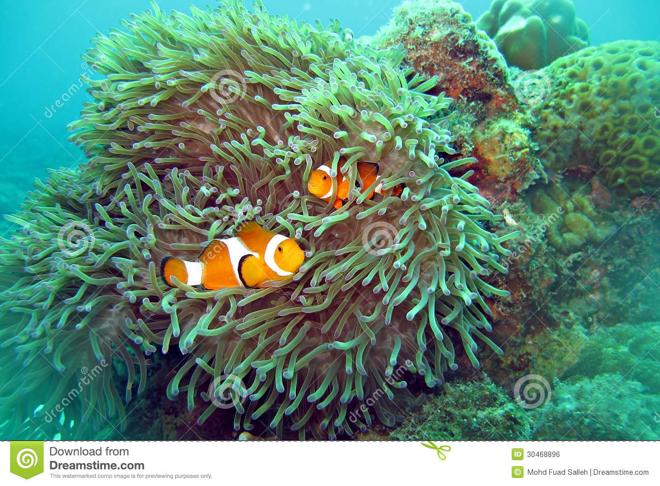 Clown fish nemo royalty free stock image image 30468896 for Clown fish habitat